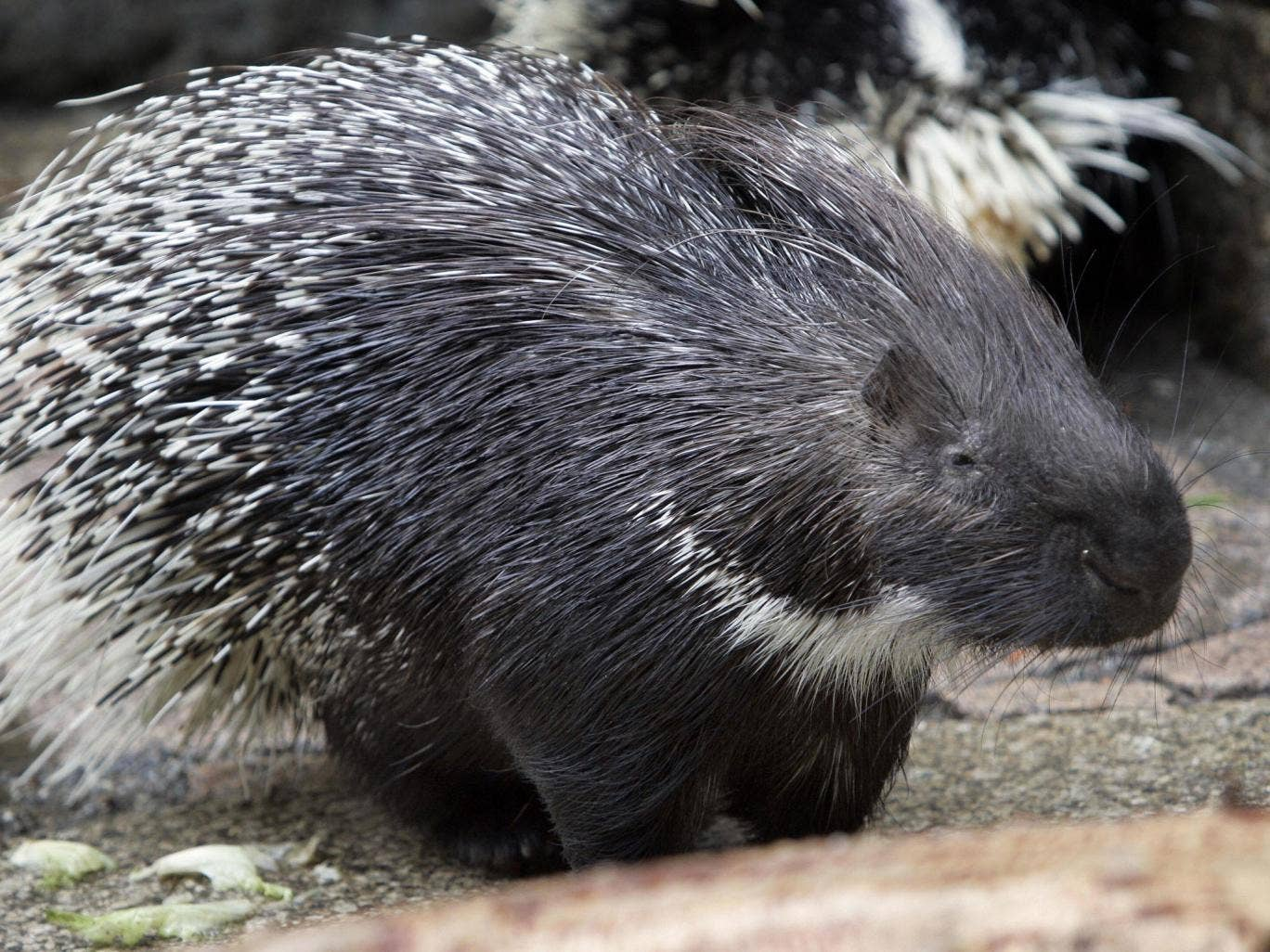 A porcupine fell onto the head of a woman and left over 250 quills in her scalp
