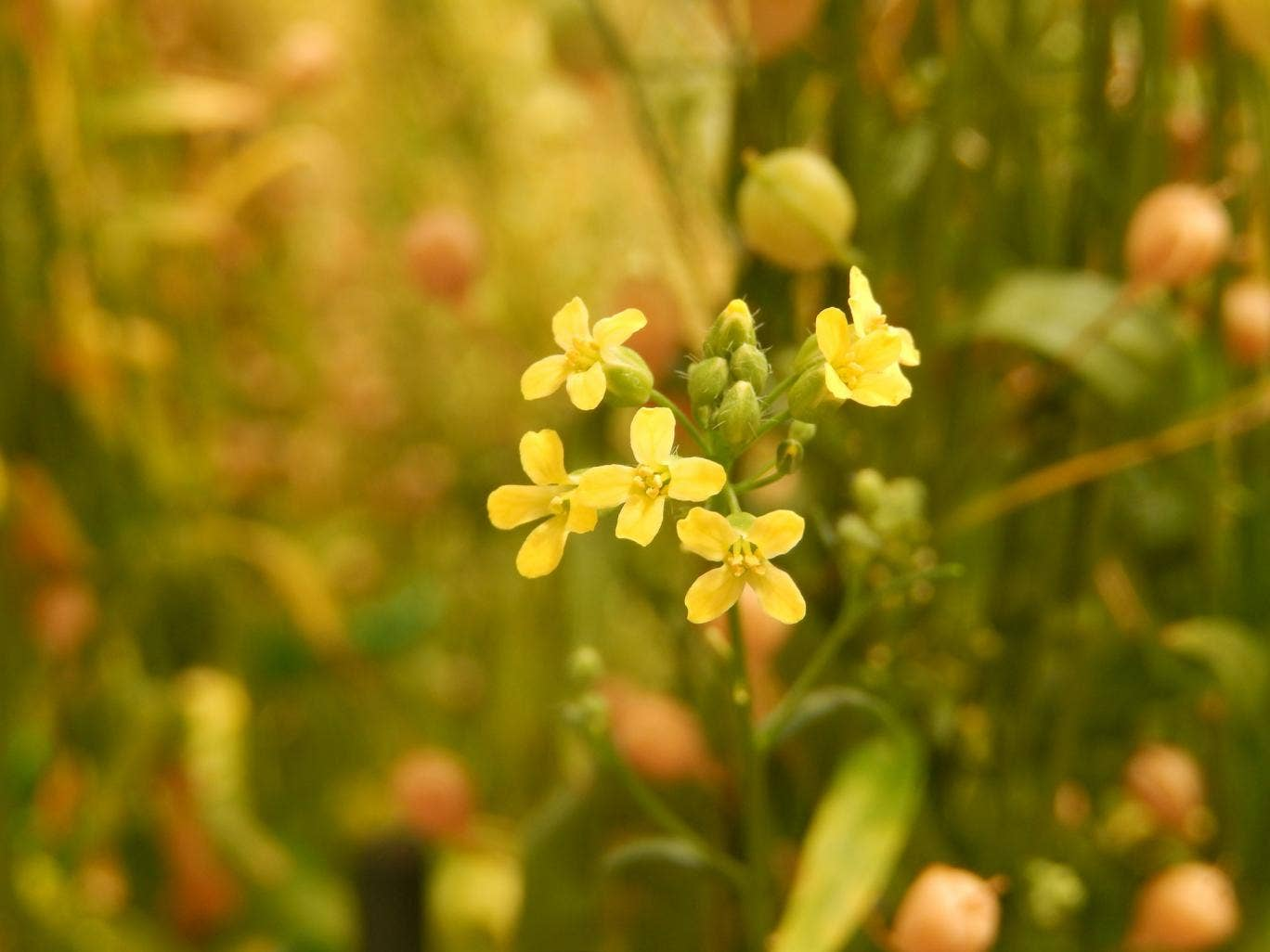 Camelina sativa plants are engineered with synthetic omega-3 genes that trigger the production of the 'fish oil' in the seeds of the harvested crop