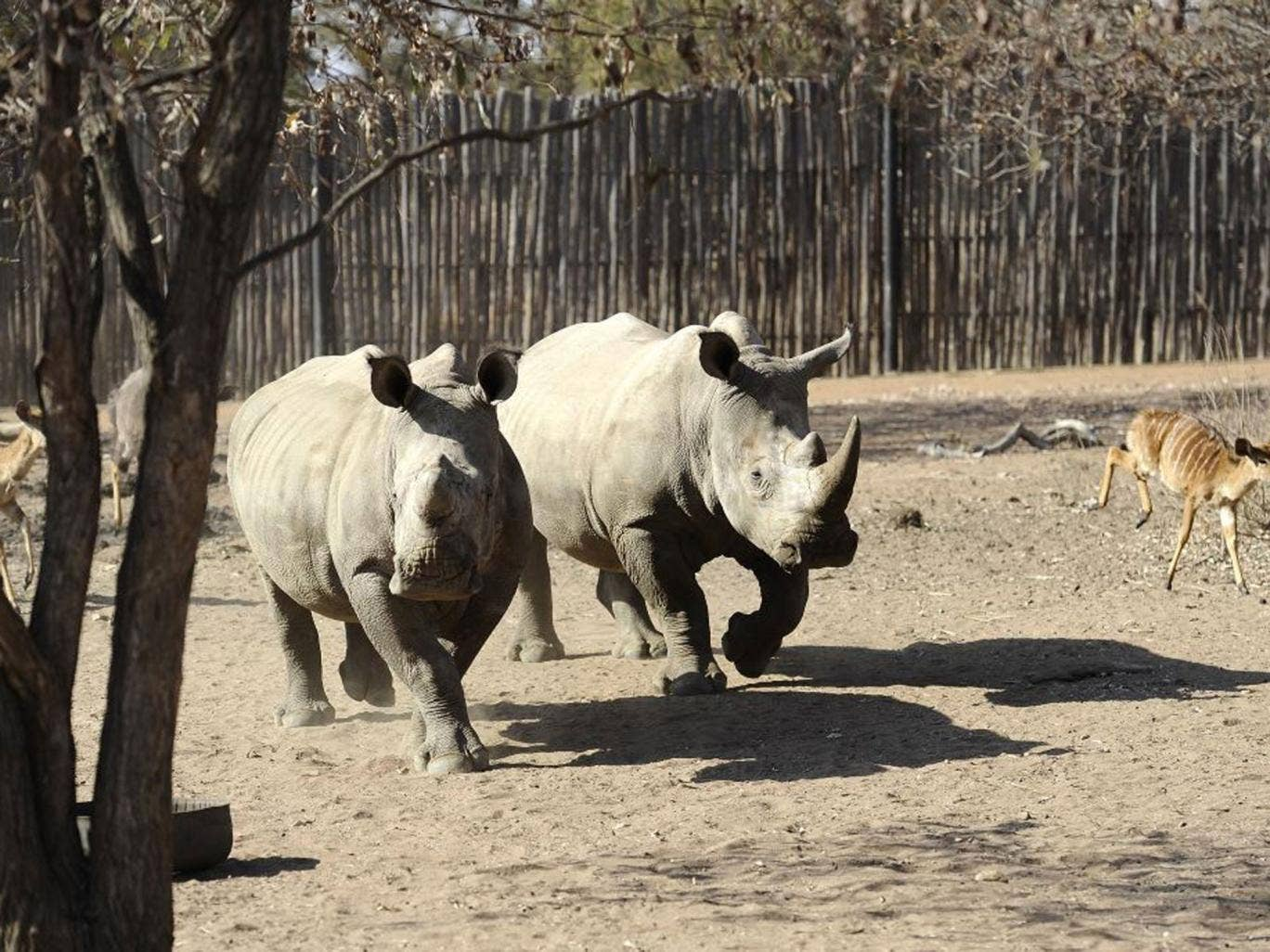 Supply and demand: White rhinos at the Entabeni Safari Conservancy, Limpopo, South Africa