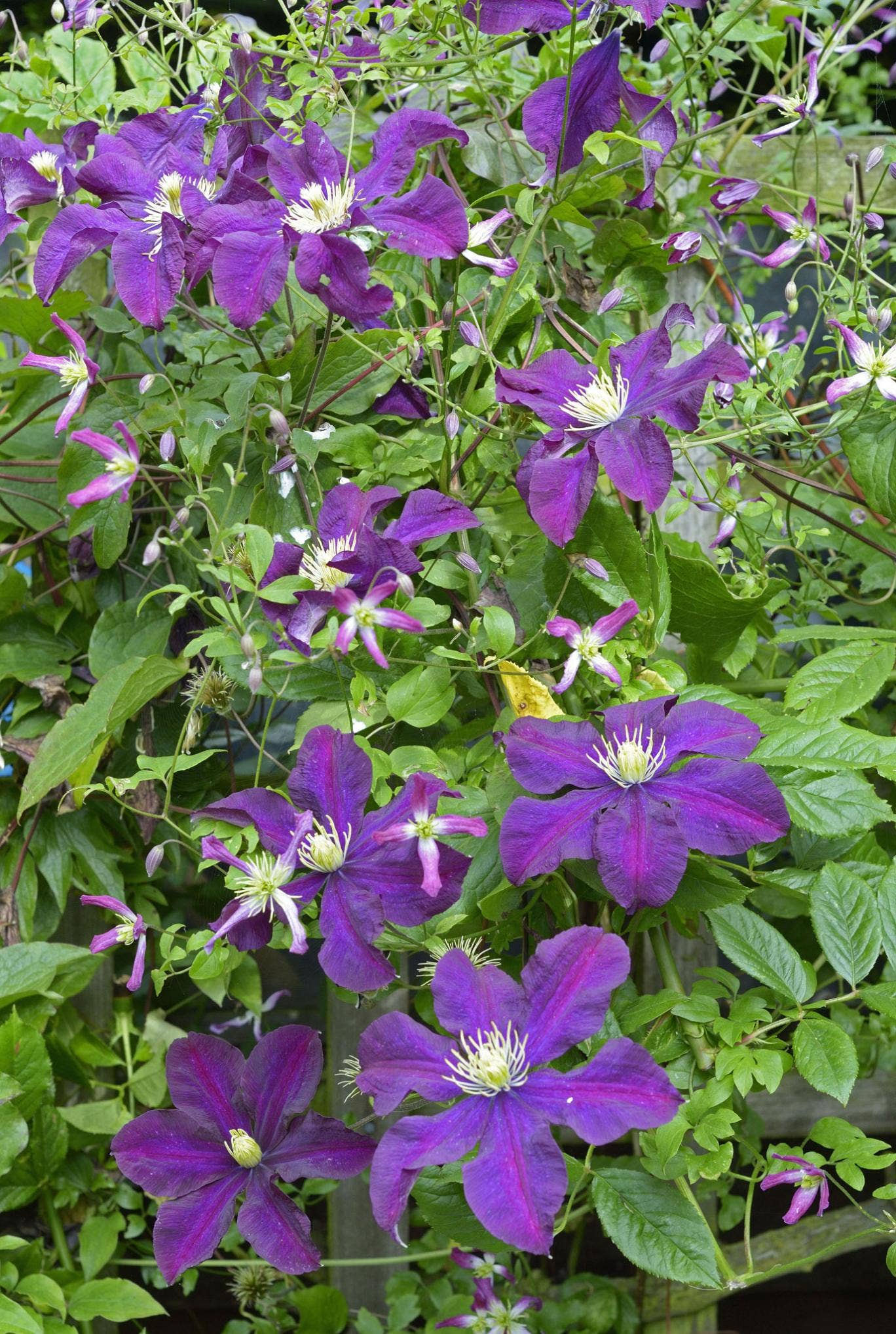 Many clematis stand up remarkably well to gales