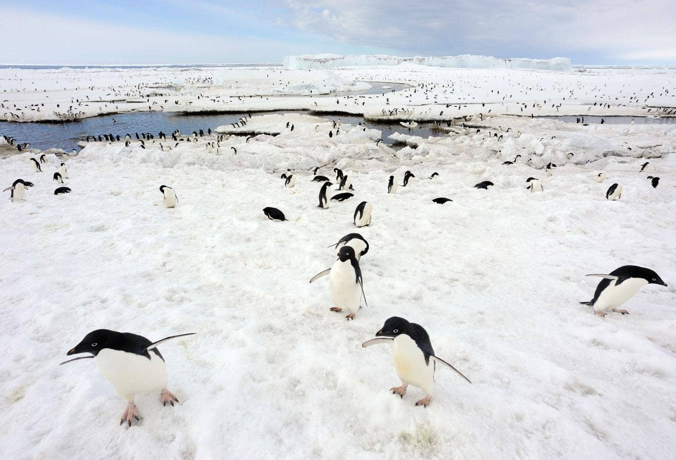 A colony of Adelie penguins in Antarctica, who experts say are finding it harder to find food as sea ice melts. In a separate study, scientists say Magellanic penguins in Argentina are being killed by global warming