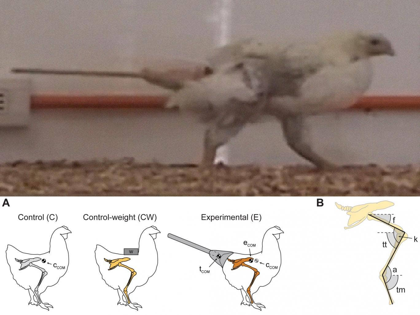 Dino-chicken: Scientists made the fake tails out of wood and clay