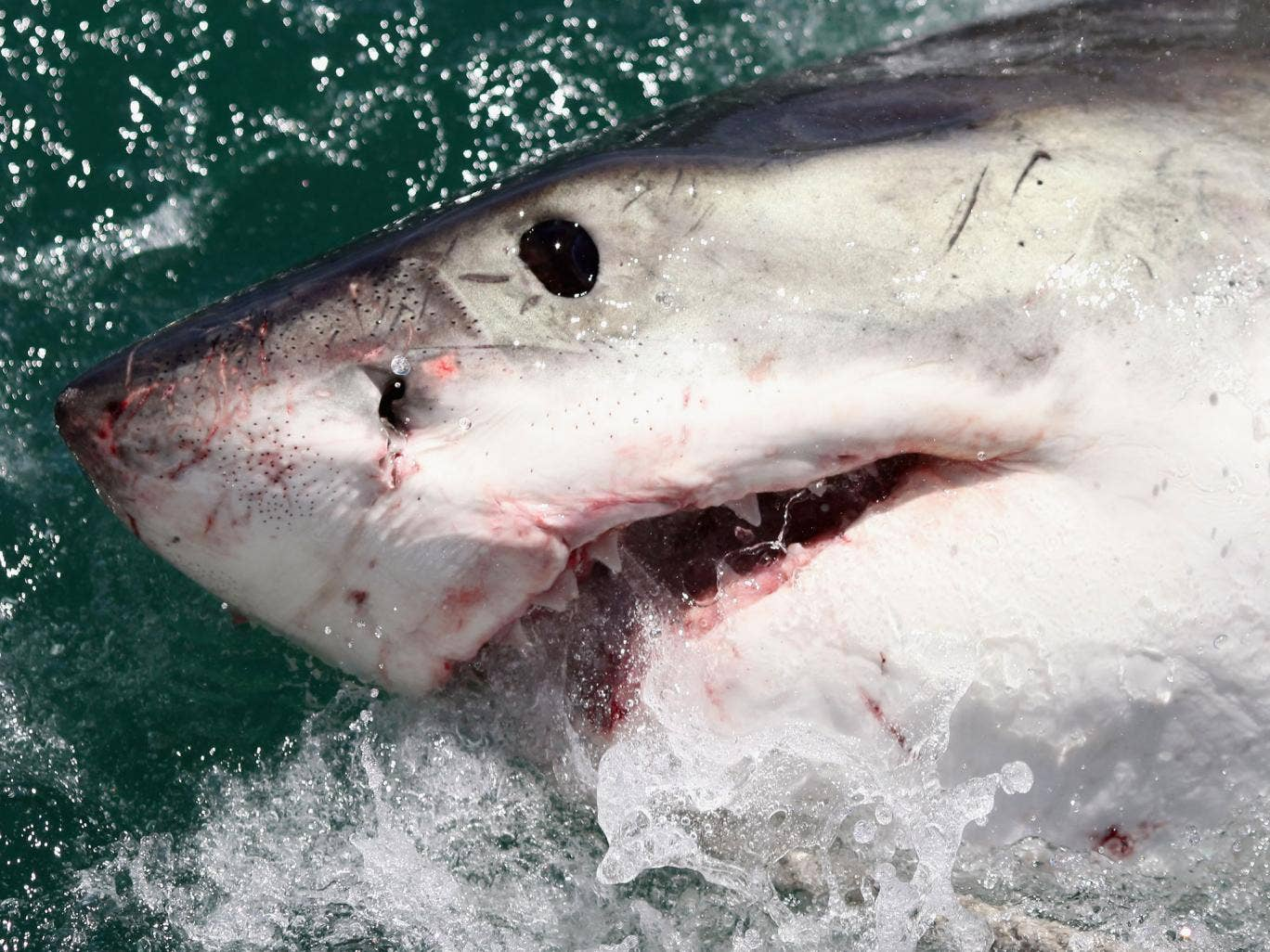 A Great White Shark is attracted by a lure on the 'Shark Lady Adventure Tour' on October 19, 2009 in Gansbaai, South Africa. The lure, usually a tuna head, is attached to a buoy and thrown into the water in front of the cage with the divers. The waters of