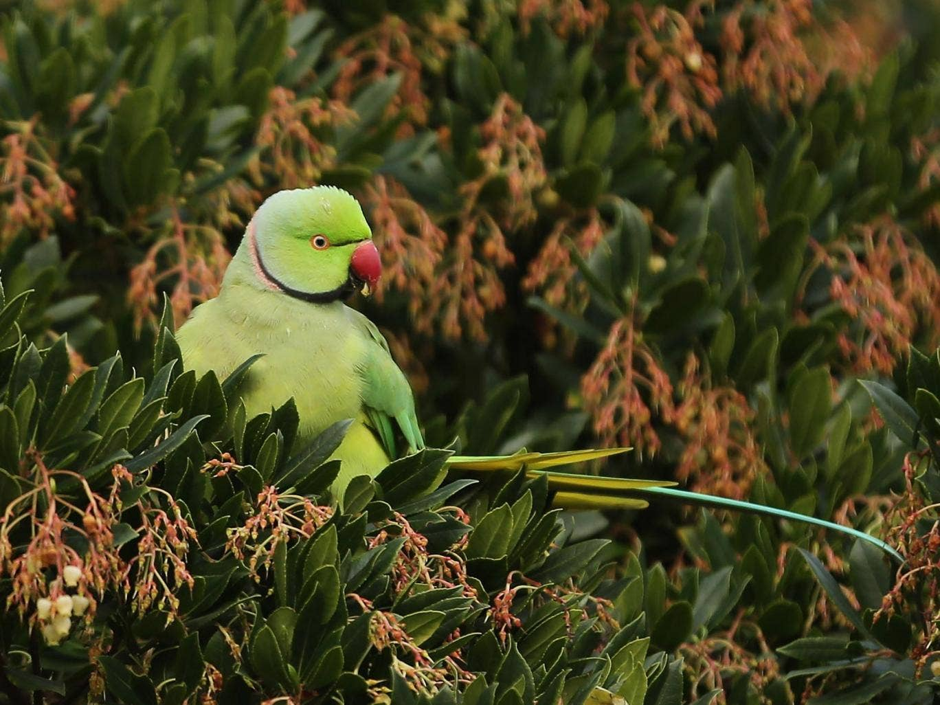 """Those who try and stop officials from destroying """"invasive species"""" such as parakeets could face prison"""