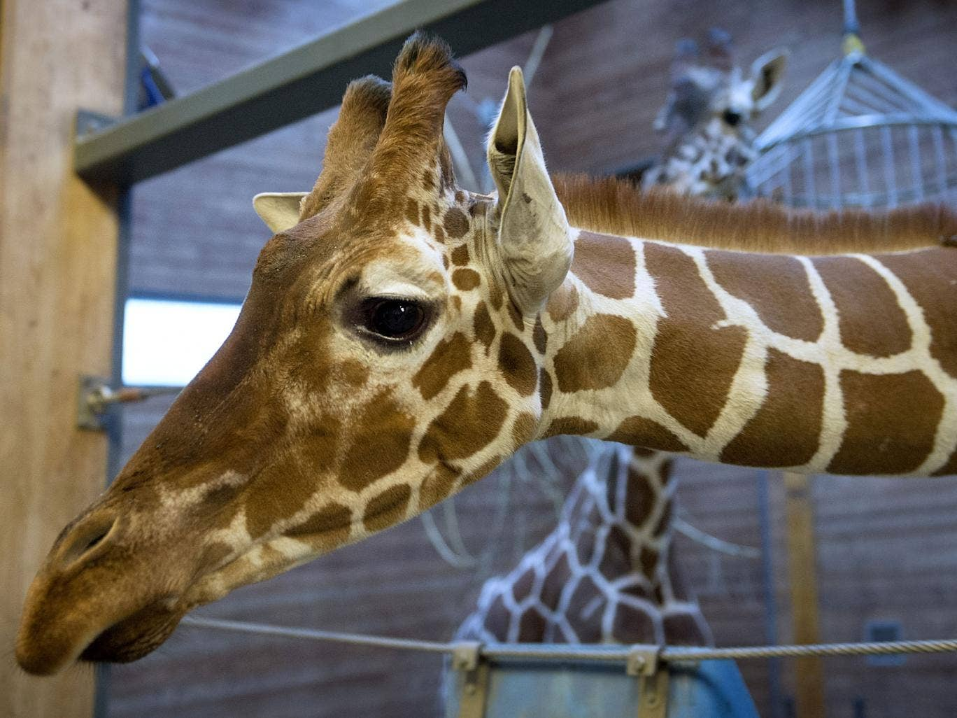 Picture taken on 7 Febuary, 2014, shows a healthy young giraffe named Marius who was shot dead and autopsied in the presence of visitors to the gardens at Copenhagen zoo on 9 Febuary, 2014 despite an online petition to save it signed by thousands of anima