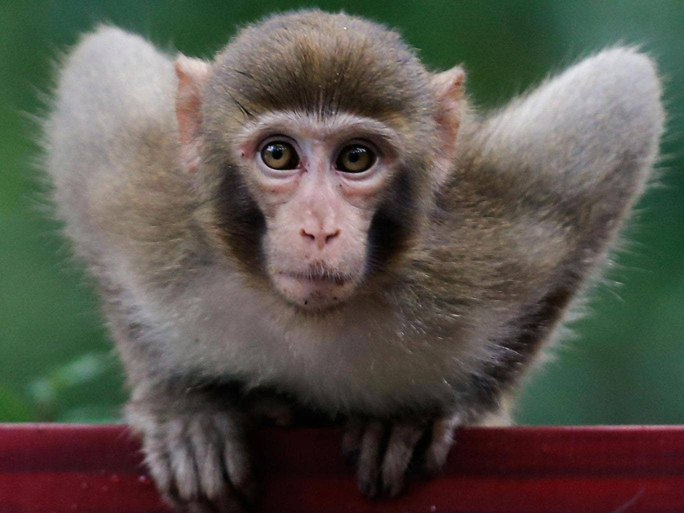 ZHANGJIAJIE, CHINA - SEPTEMBER 01: A macaque monkey plays in the Zhangjiajie national park on September 1, 2013 in Zhangjiajie, China. Zhangjiajie National Forest park is a popular tourist destination in the Hunan province, home to striking sandstone and