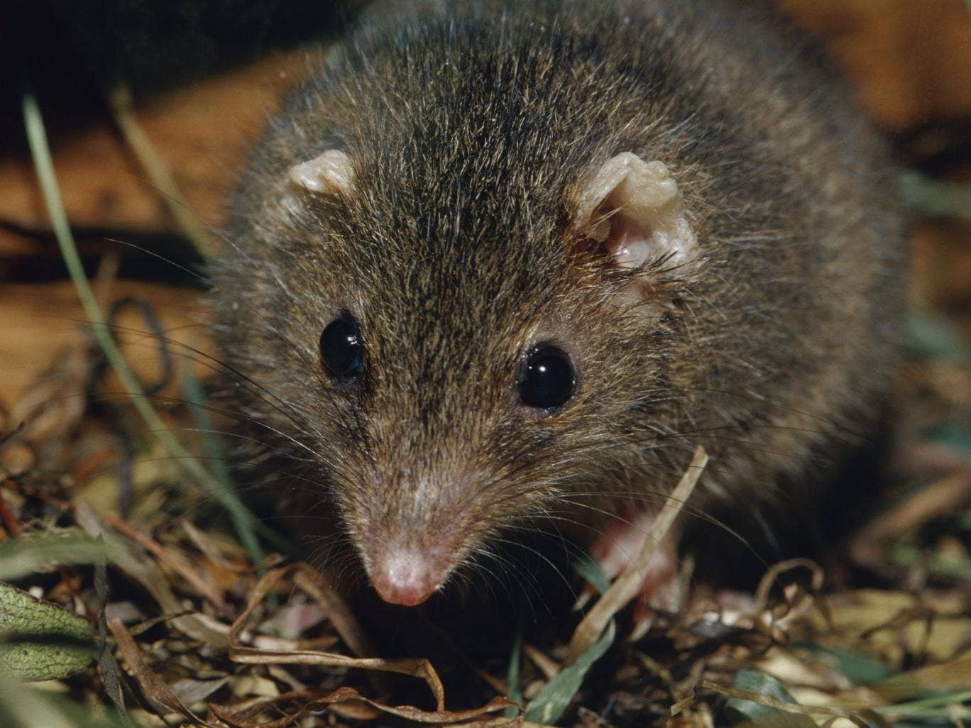 Portrait of a Dusky antechinus, a relation of the black-tailed antechinus discovered by Australian scientists.