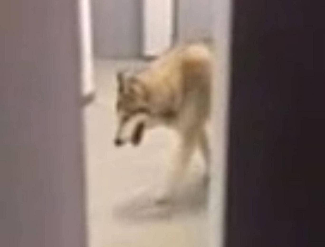A screen grab from athlete Kate Hansen's filming a wolf wandering through her hotel