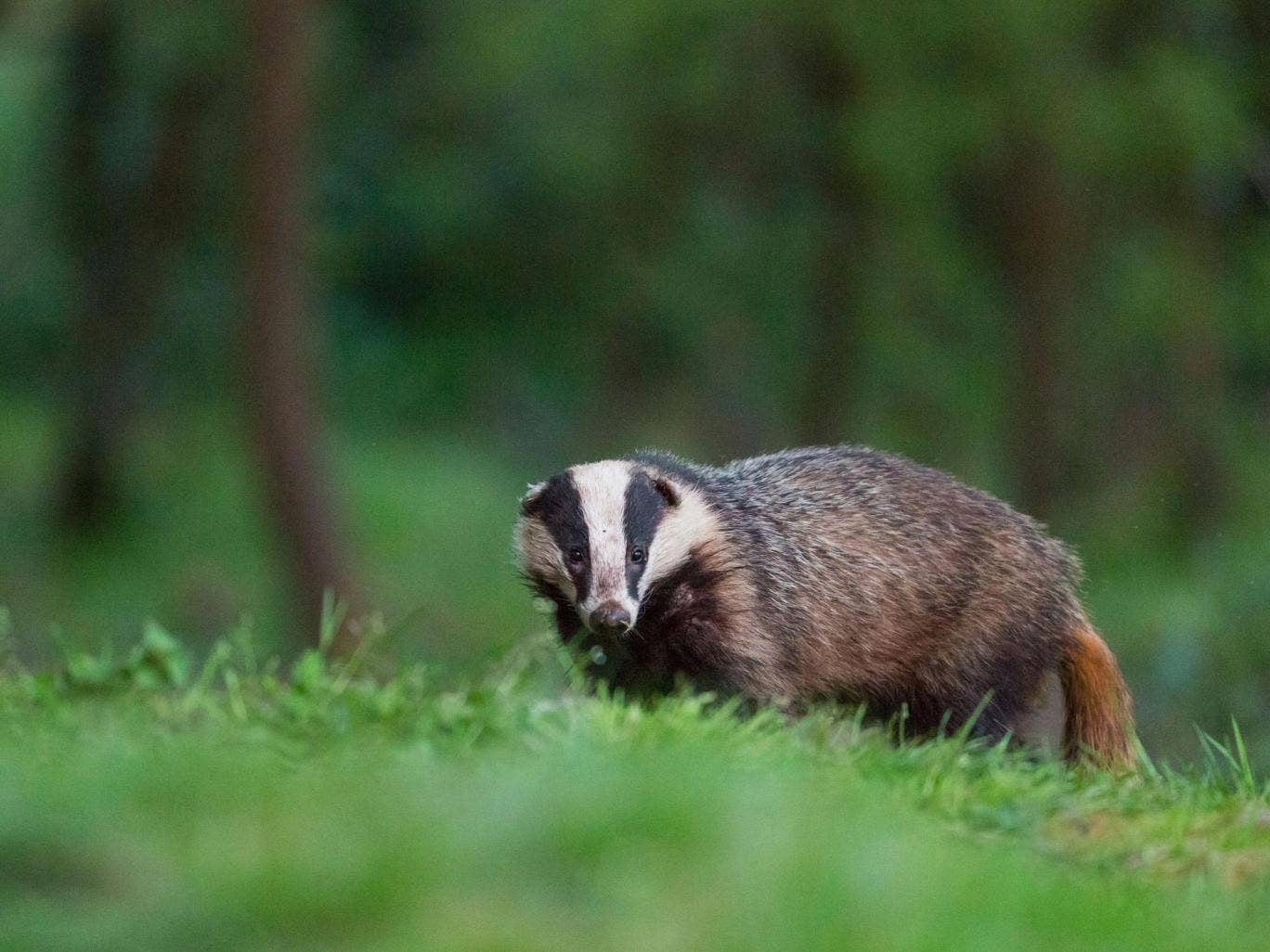 The government has a colony of 101 badgers
