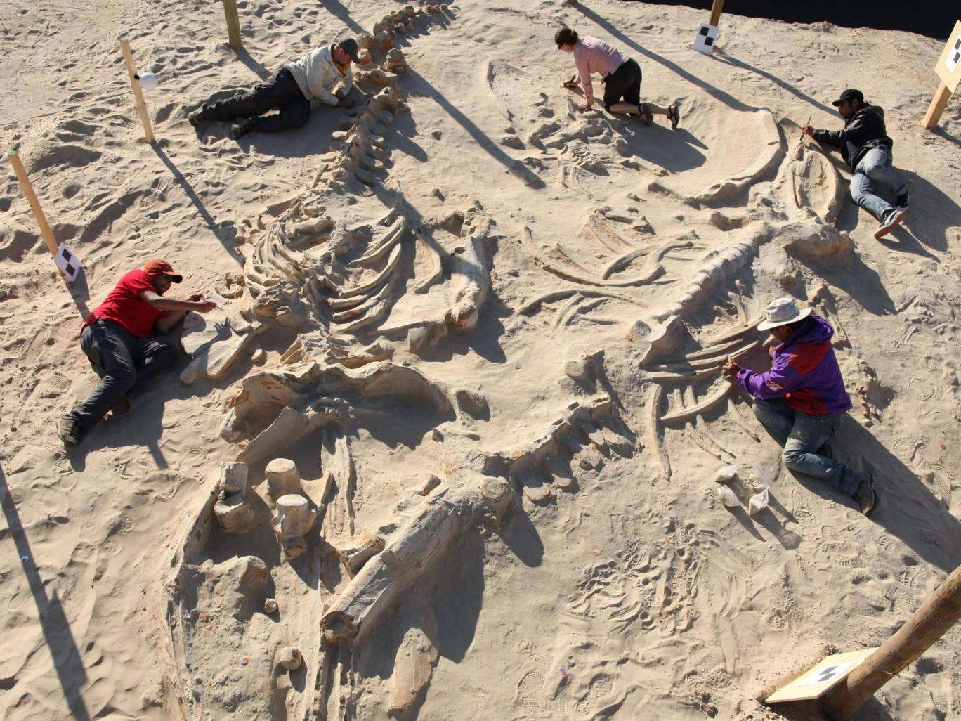 Chilean and Smithsonian paleontologists study several fossil whale skeletons at Cerro Ballena, next to the Pan-American Highway in the Atacama Region of Chile