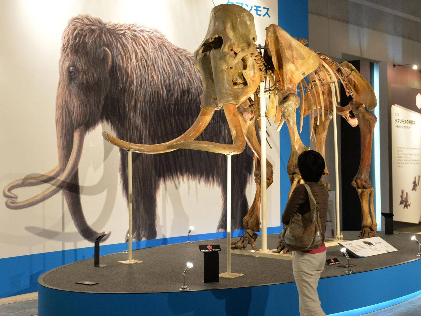 Woolly Mammoths became extinct thousands of years ago - but could they be brought back to life?