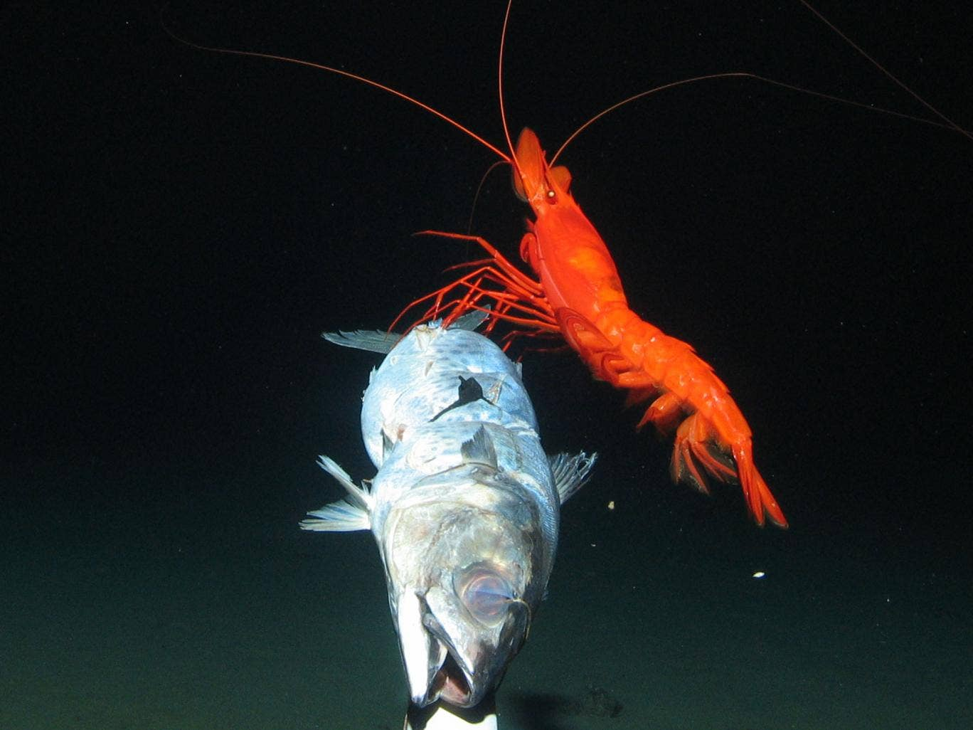 A large prawn feeding at bait 7,000 metres under Pacific Ocean