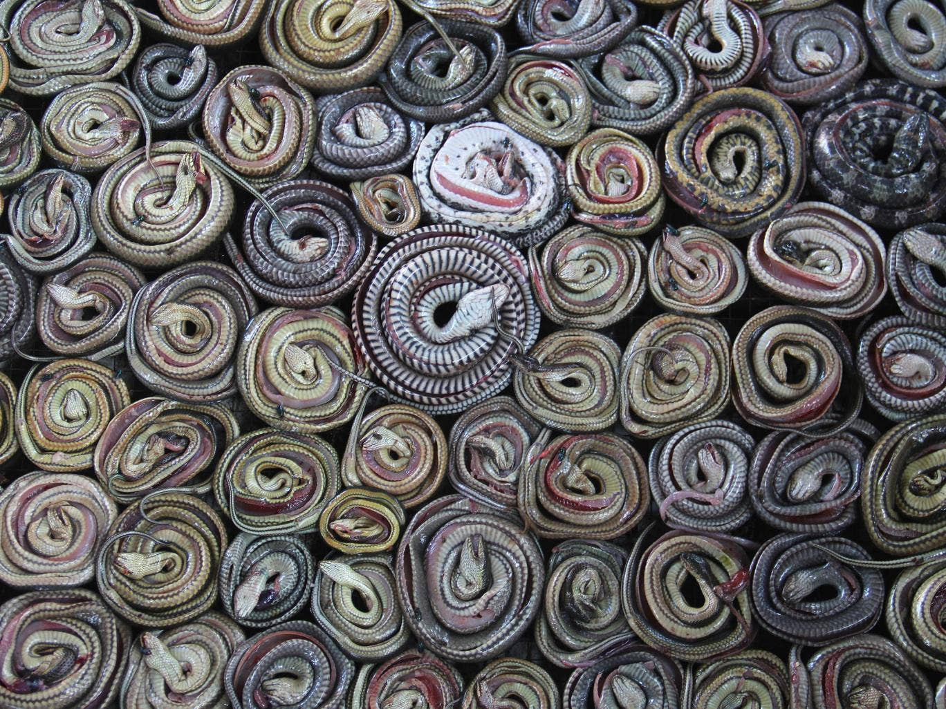 Snakes are collected and rolled before putting into the oven in the village of Kertasura, Cirebon