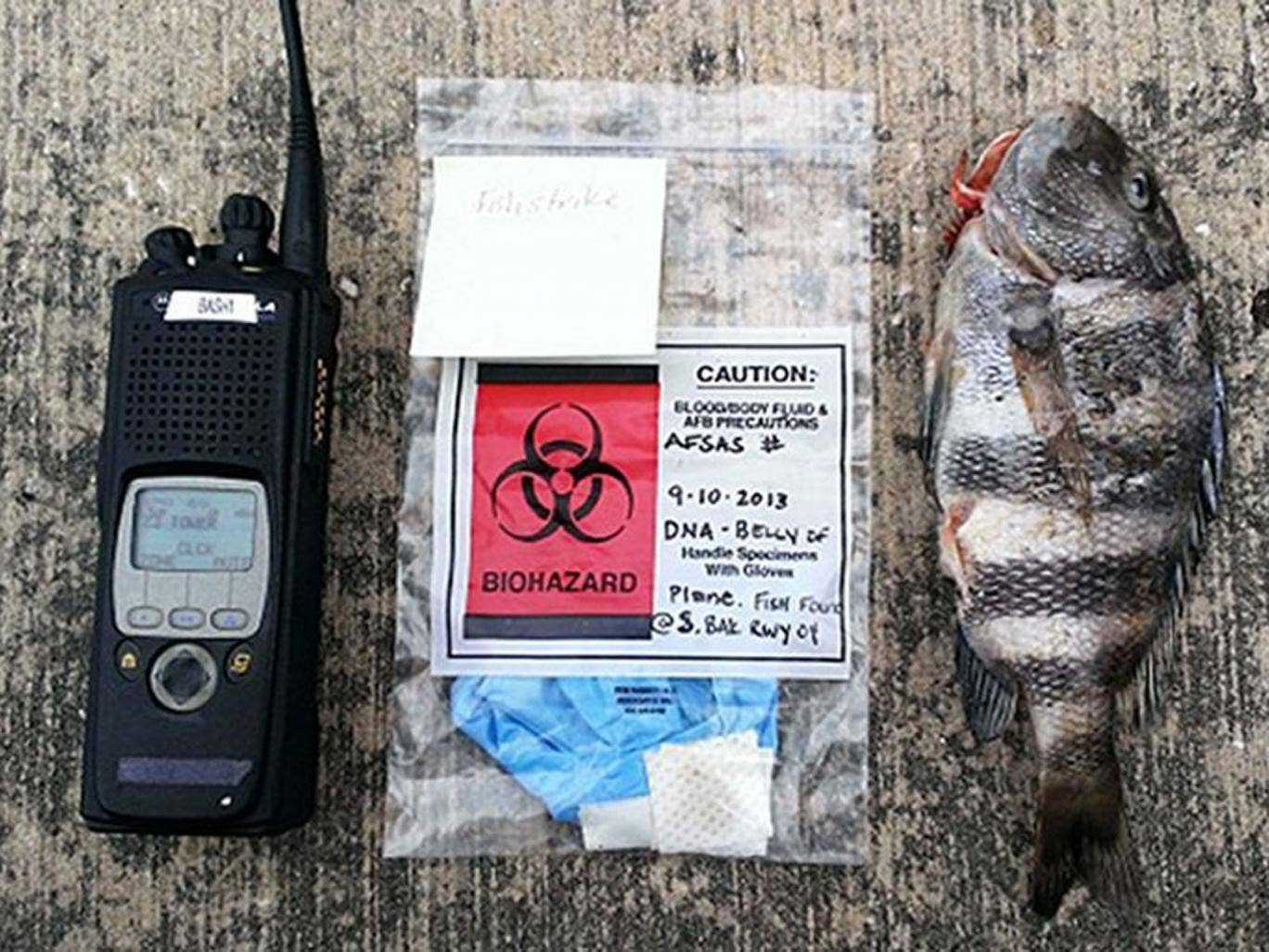 The sheepshead fish is shown on a runway along with a biohazard bag and radio for scale, at the base in Tampa, Fla
