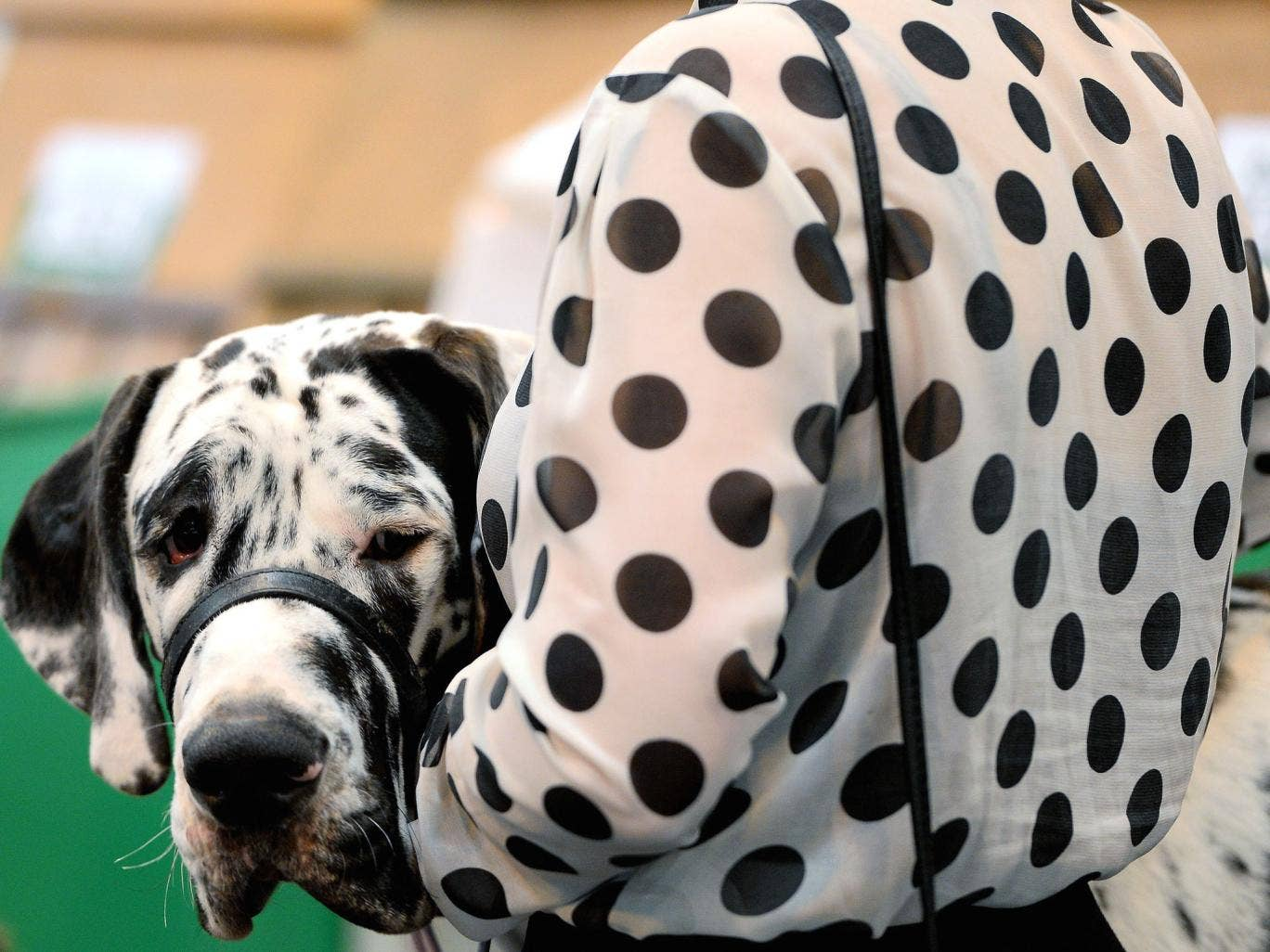 A dog owner with a matching spotty shirt holds her dog  during the first day of Crufts in Birmingham. Crufts dog show is the largest show of its kind in the world, the annual four-day event, features thousands of dogs, with competitors travelling from cou
