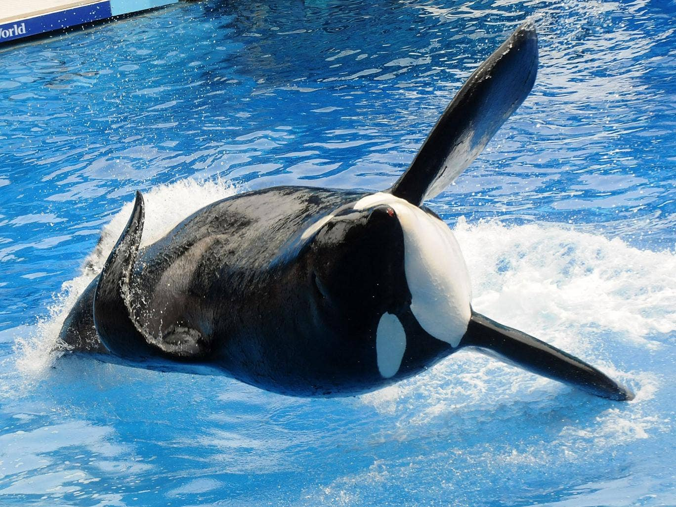 Killer whale 'Tilikum' appears during a performance in his show 'Believe' at Sea World in Orlando, Florida. Tilikum has been involved in the deaths of three people during his time in captivity since 1991