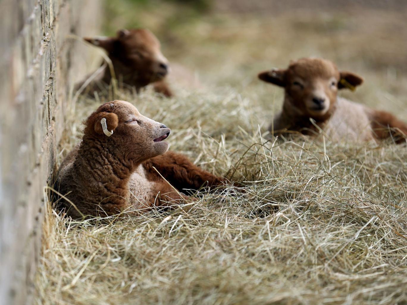 Rare breed newborn Portland lambs soak up the early spring sunshine at  Wimpole Hall farm in Cambridgeshire