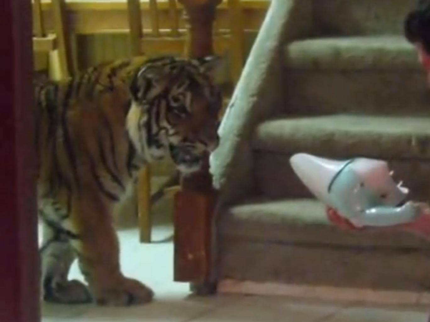 Home videos showed the extraordinary upbringing of Jonas the tiger - in this case facing up to a particularly scary dustbuster