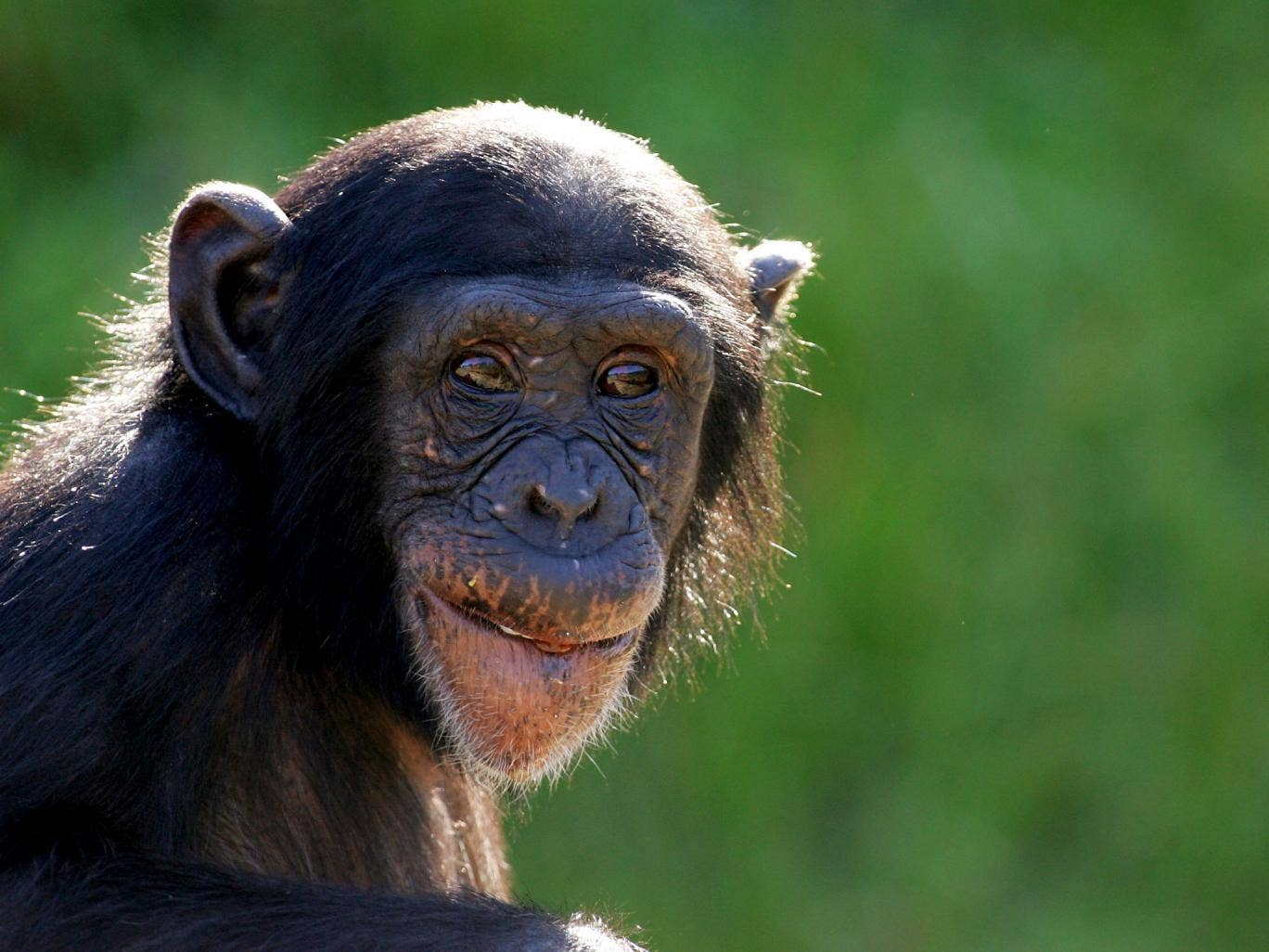 A young chimpanzee watches the media covering the welcome of a new female baby chimpanzee to Sydney's Taronga Zoo on March 4, 2008 in Sydney, Australia. The new infant, as yet unnamed, was born late last week as part of the zoo's breeding program to help