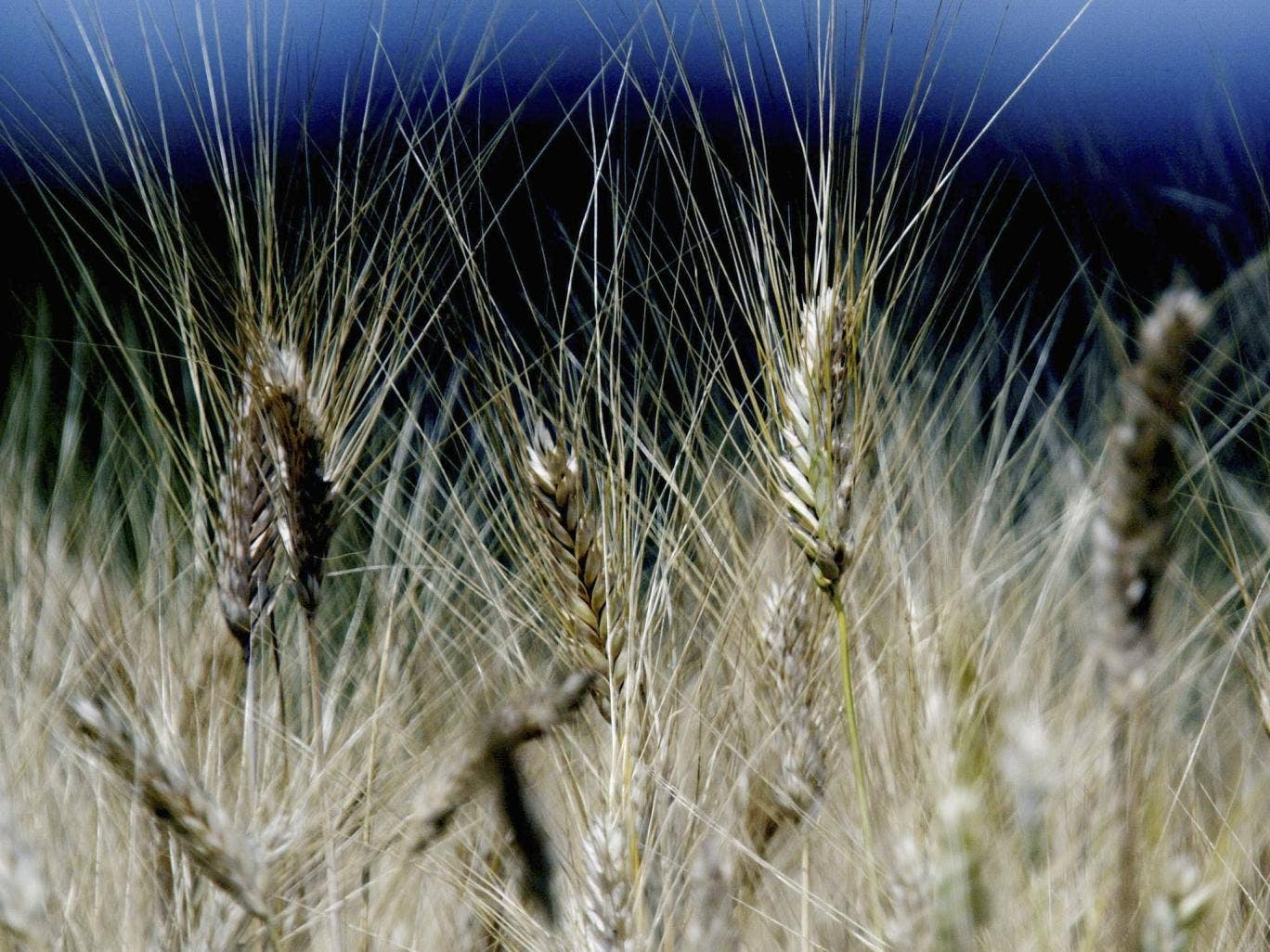 There is no compelling evidence to suggest that genetically modified crops are any more harmful than conventionally grown food
