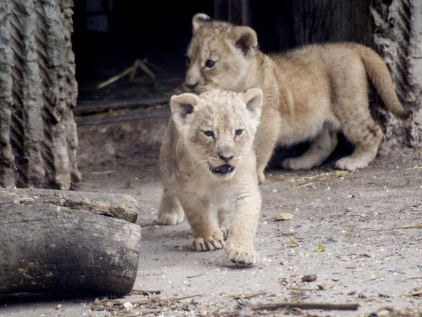 A file photo dated 17 July 2013 shows new lion cubs entering the lions enclosure for the first time. Copenhagen Zoo is once again in the world news after it was reported on 25 March 2014, that the zoo put down four healthy lions. It sparked a world wide o