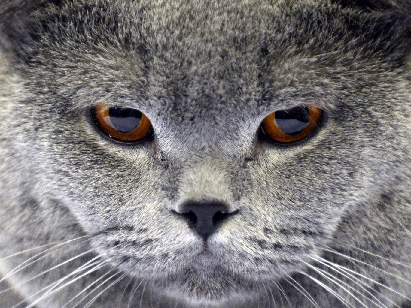 A cat is pictured on October 26, 2013 during a cat exhibition in Moscow.