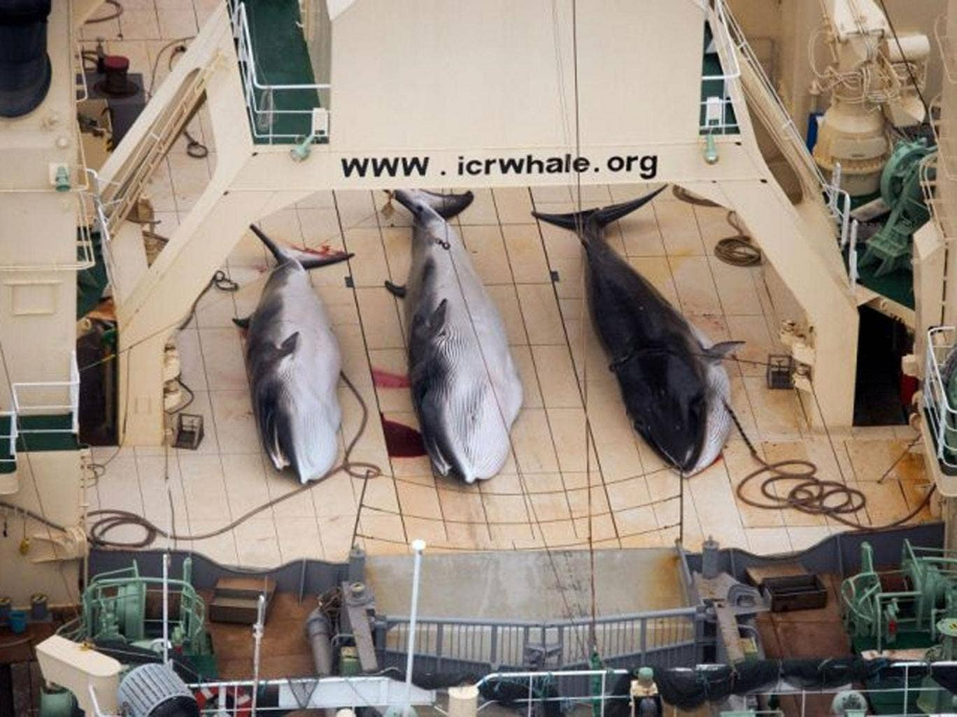 FILE - In this file photo taken on Sunday, Jan. 5, 2014 and supplied by Sea Shepherd Australia on Monday, Jan. 6, 2014, three dead minke whales lie on the deck of the Japanese whaling vessel Nisshin Maru, in the Southern Ocean. The International Court of