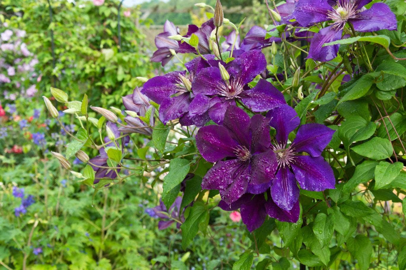 'The President' is extremely vigorous with large flowers of purplish-blue