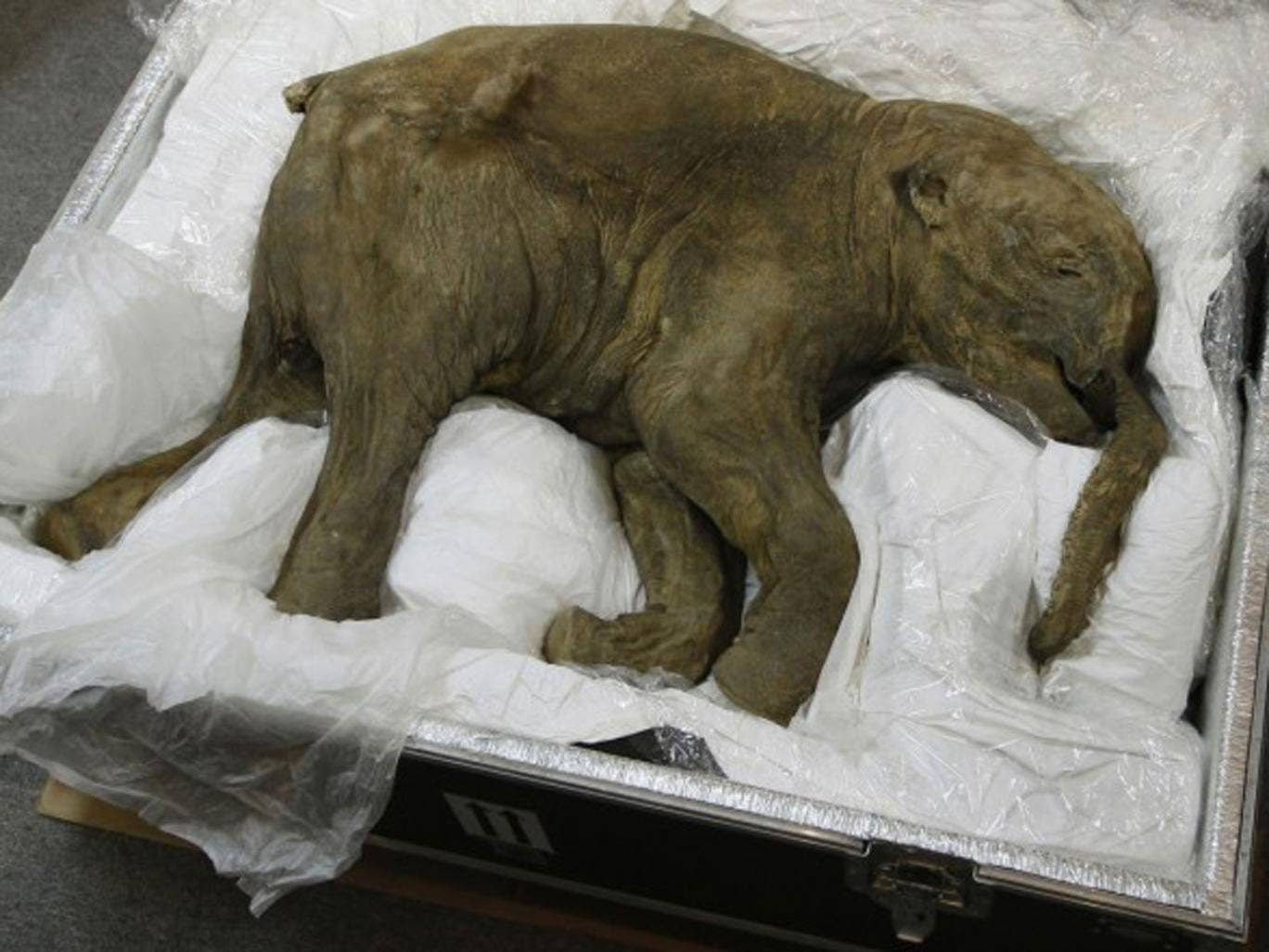 The babymammoth, found in Siberia by a reindeer herder in 2007, is little larger than a dog, and has been nicknamed Lyuba.