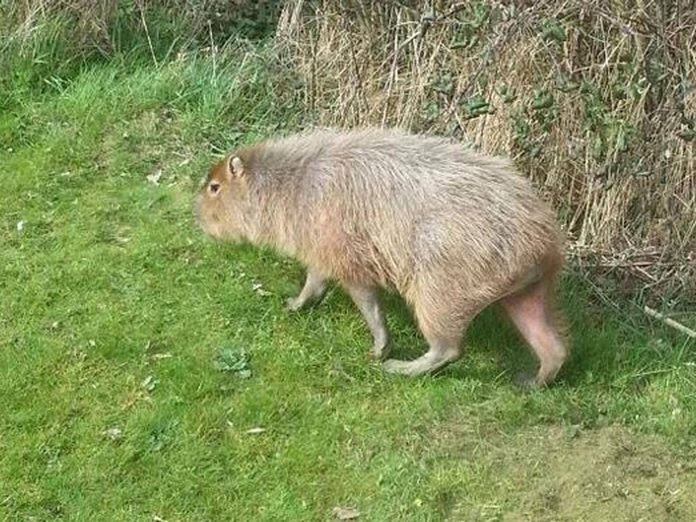 A capybara - the largest species of rodent in the world - has been causing a commotion on a golf course in Essex