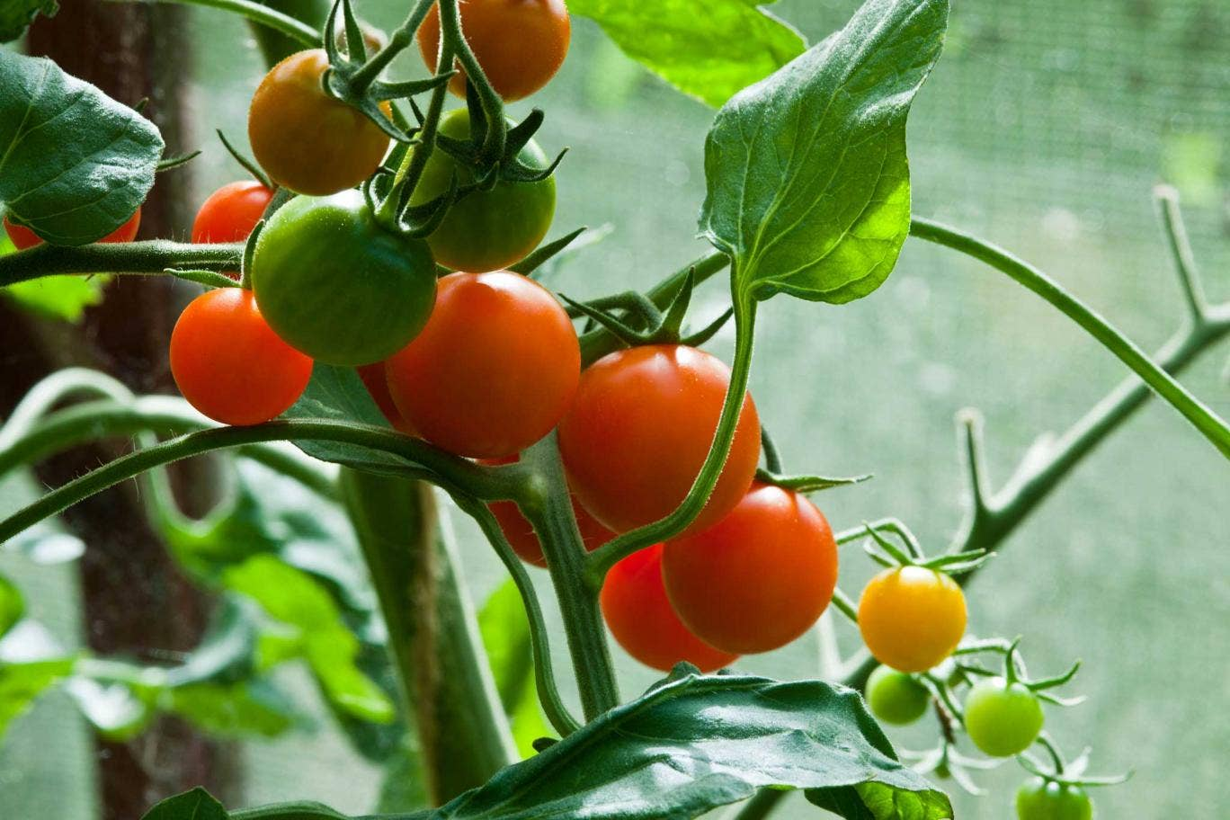 The outstanding cherry tomato 'Sungold'