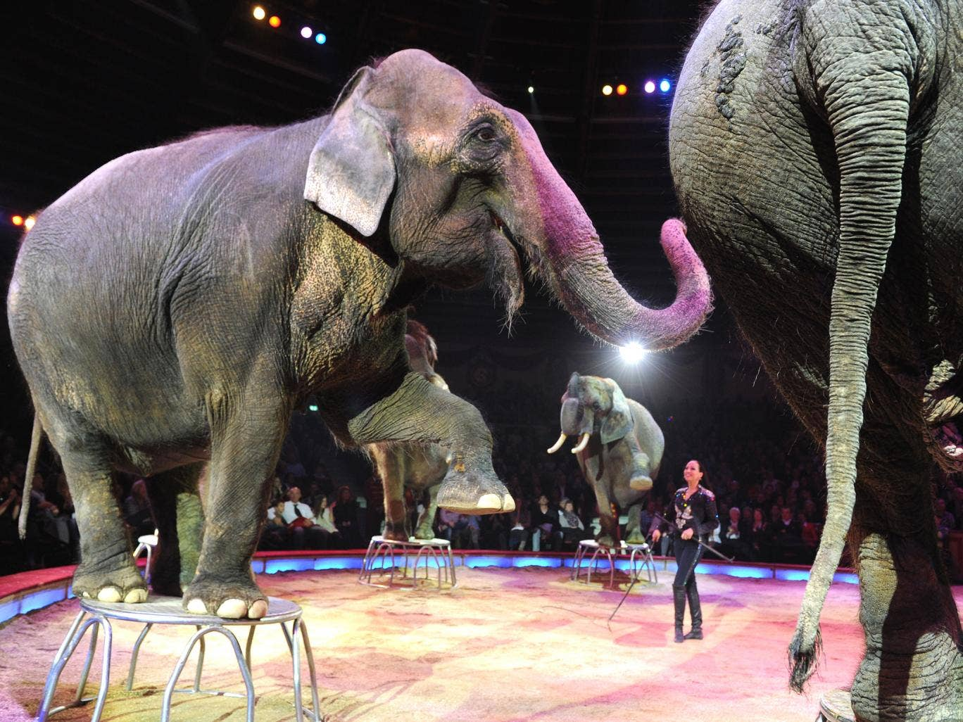 Elephants on stage during a circus performance in Germany