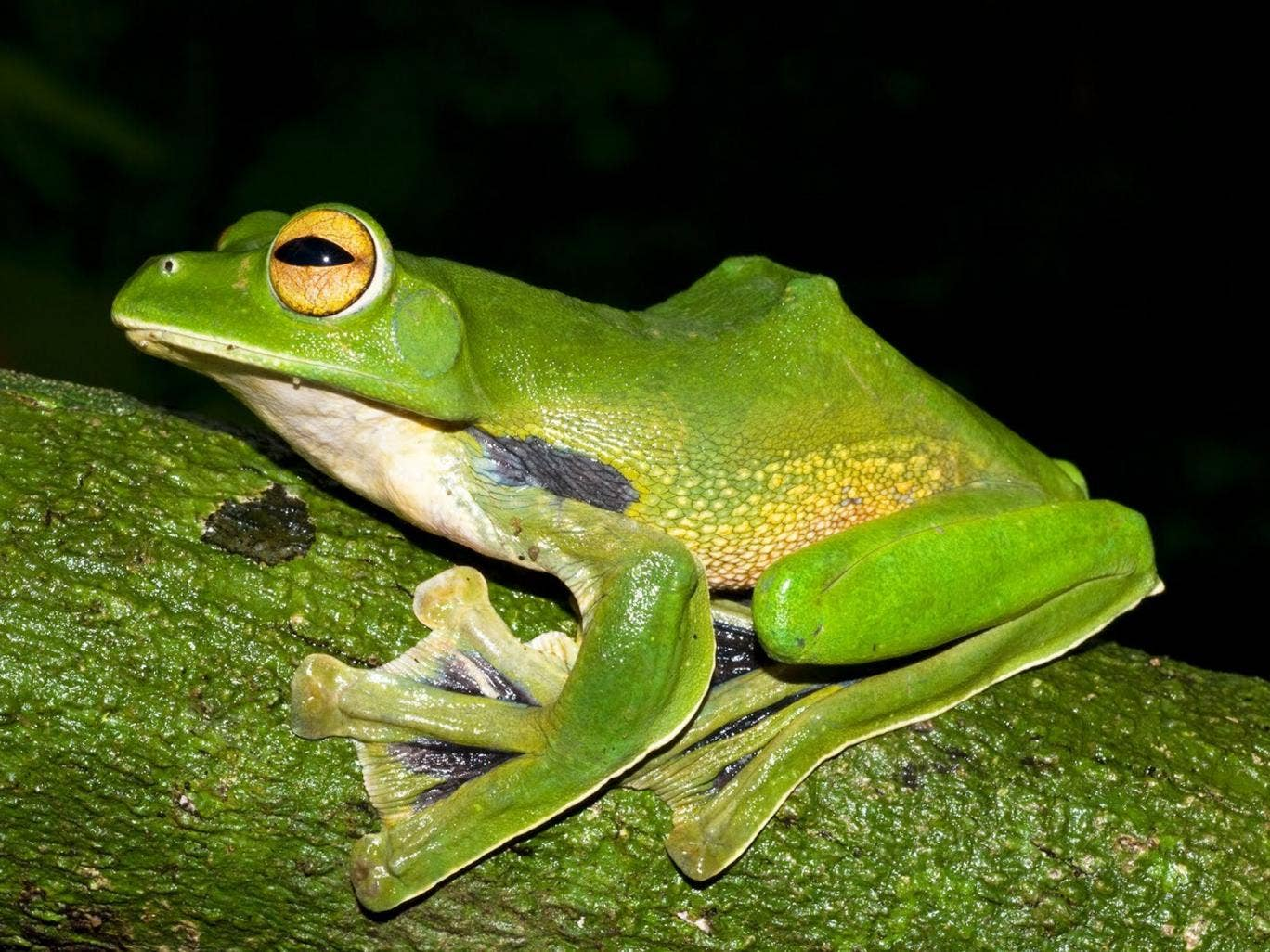A Giant green flying frog which is among the new species found by scientists in the Greater Mekong region