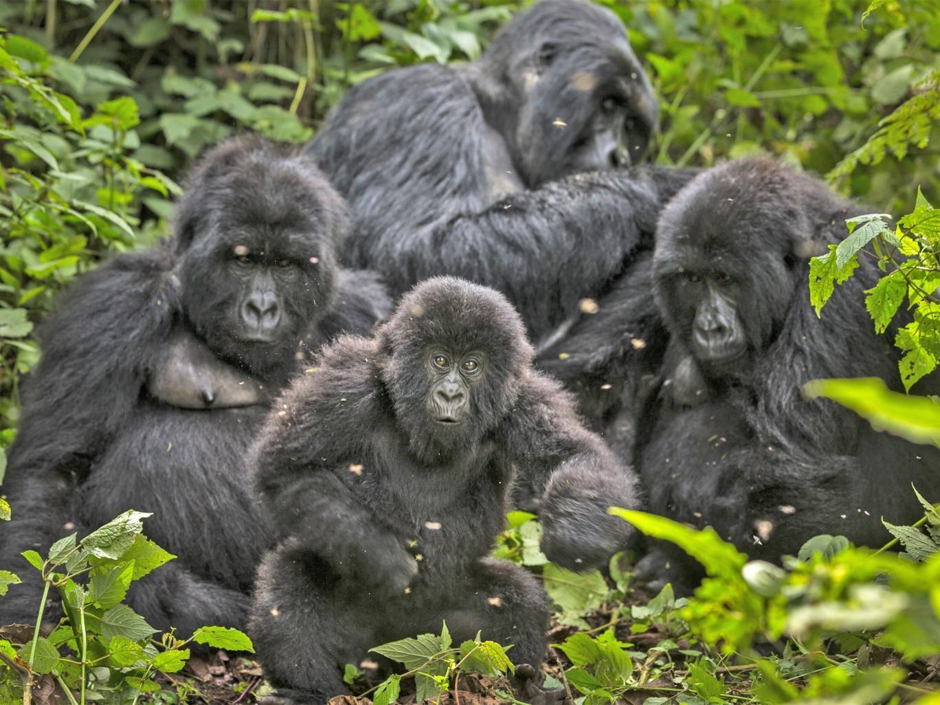 A family of Gorillas in Virunga National Park