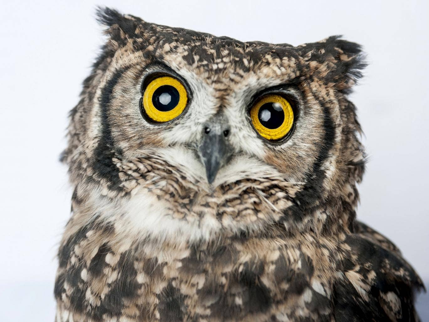 An owl sits on display at Tori-no Iru Cafe on February 23, 2014 in Tokyo, Japan. Located in Kiba, Tokyo, Tori-no Iru (Birds Cafe) is a cafe where people can get up close and interact with some exotic birds. Japan has an increasing number of pet cafes, whe