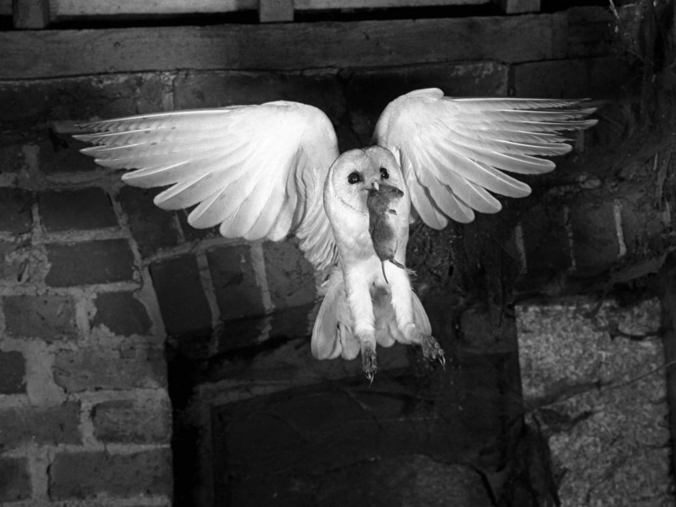 'Heraldic Barn Owl' (1948) by Eric Hosking