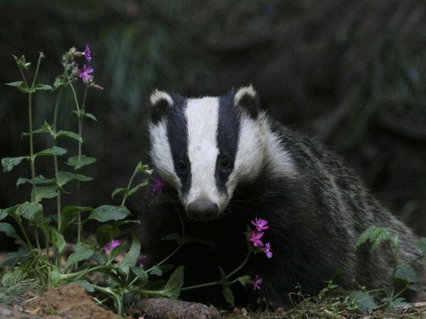 A report by the IEP raised concerns about the effectiveness of the culls and warned badgers were suffering slow deaths after being shot