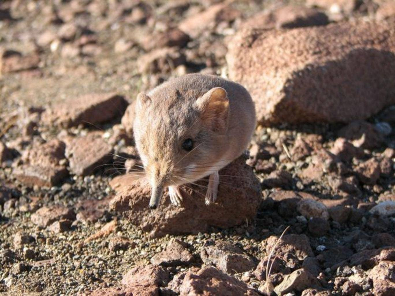Round-eared elephant shrew, new species of mammal