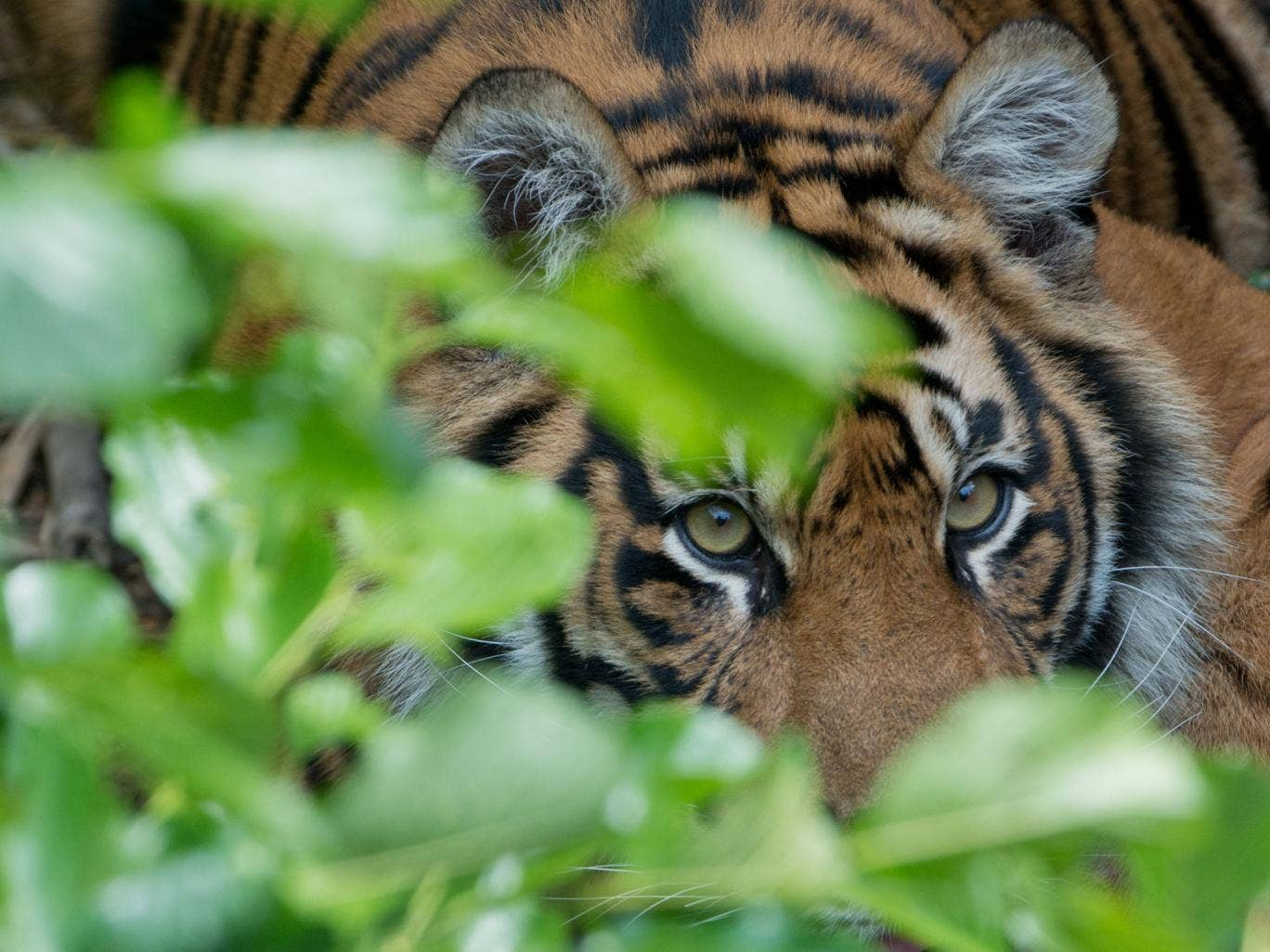 The tiger (not pictured) was reportedly seen lying down into the night following the incident