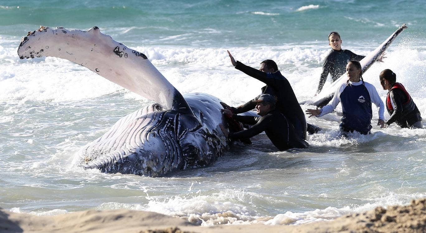 A beached whale is aided by Seaworld professionals on the Gold Coast, Australia