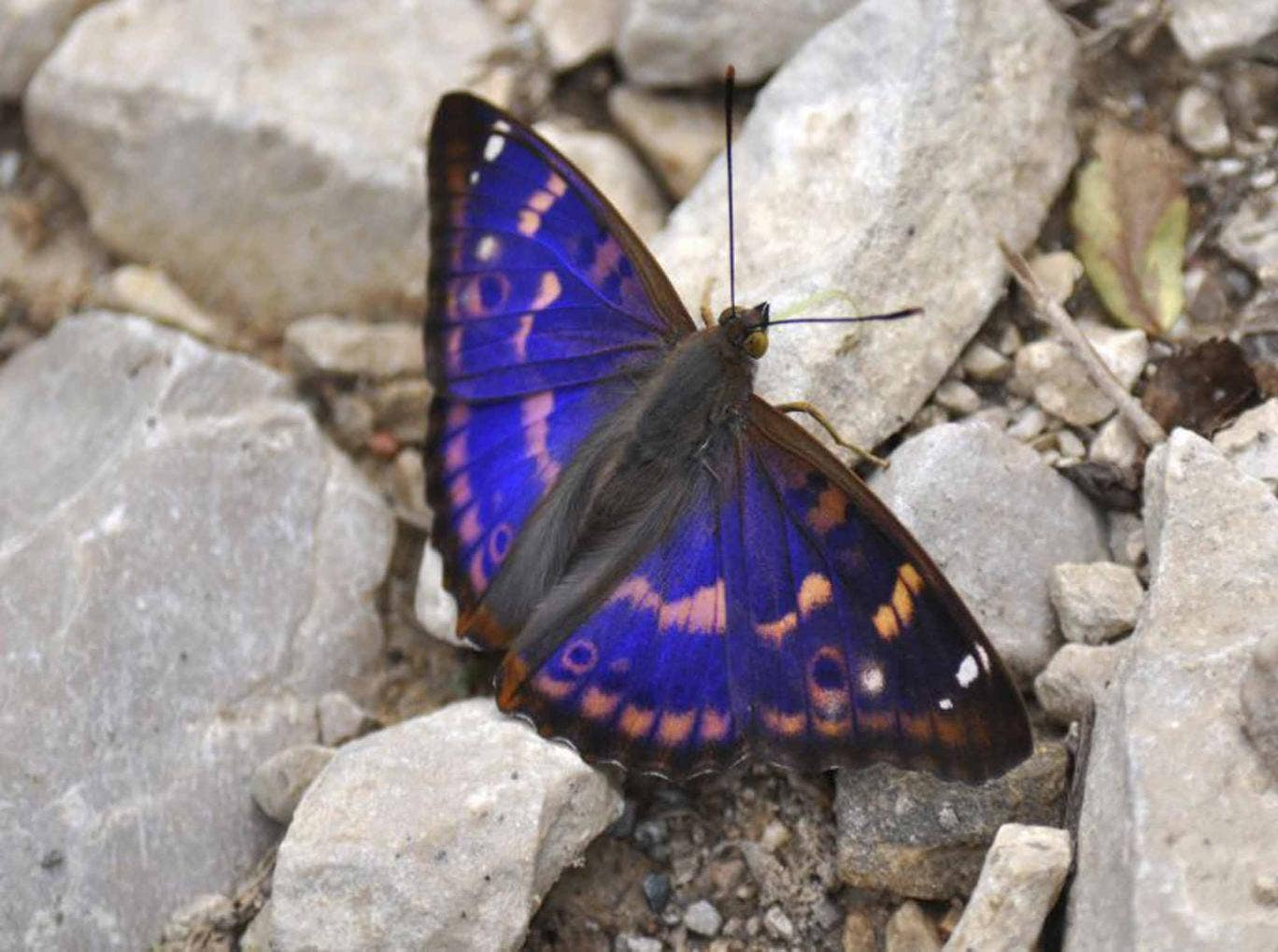 Wing and a prayer: The purple emperor butterfly