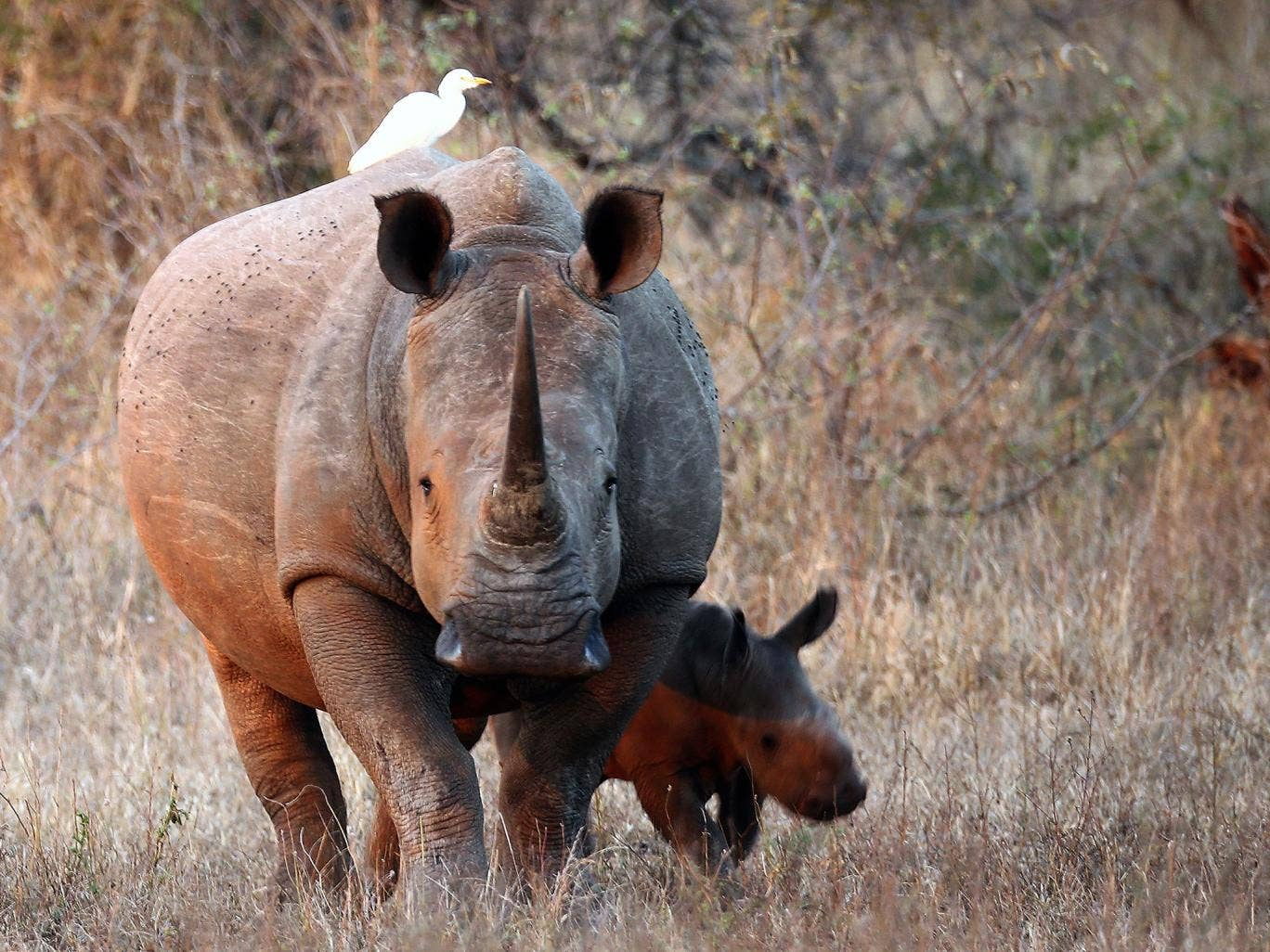 A newborn White Rhinoceros walks with it's mother in Kruger National Park (Getty Images)