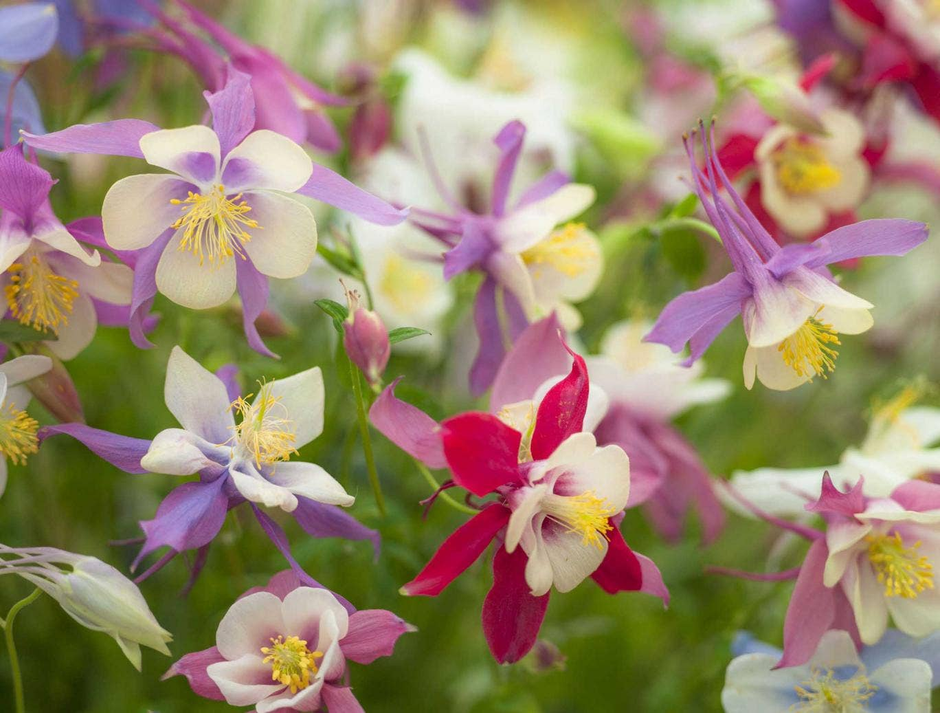 Aquilegias germinate best if sown now in pots or boxes of damp compost standing in the shade