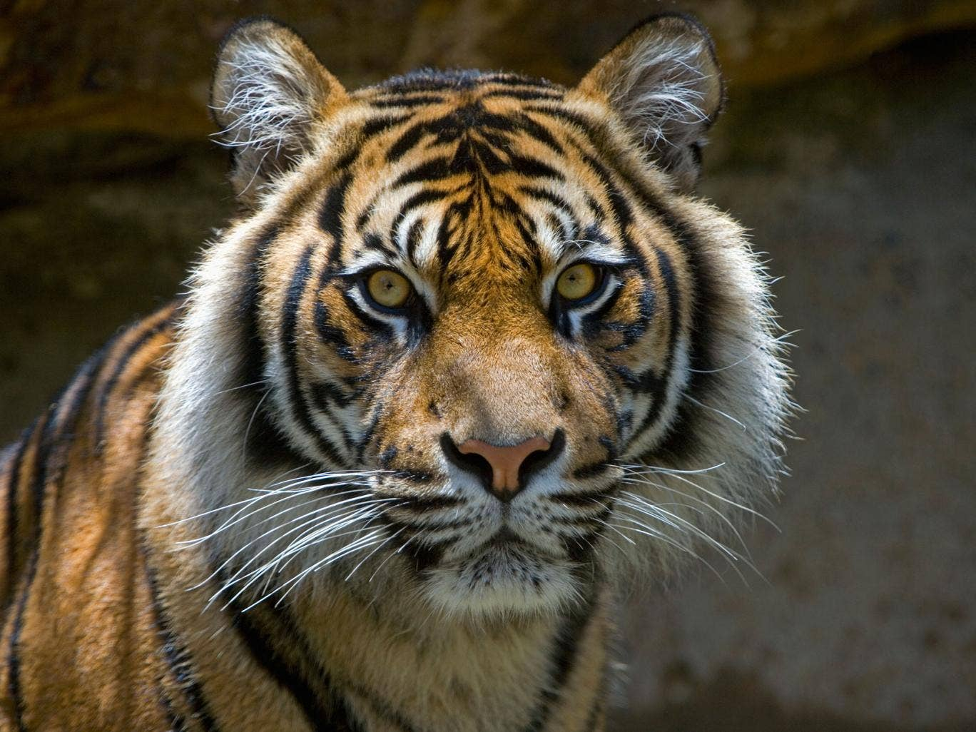 A captive Sumatran tiger in Indonesia in 2005