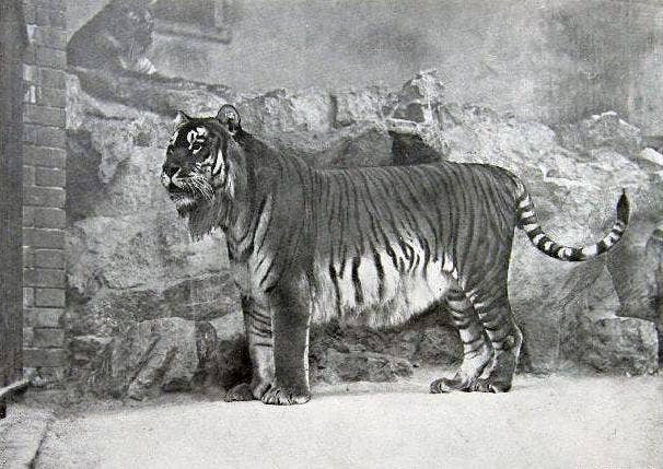 A soon-to-be extinct Caspian tiger