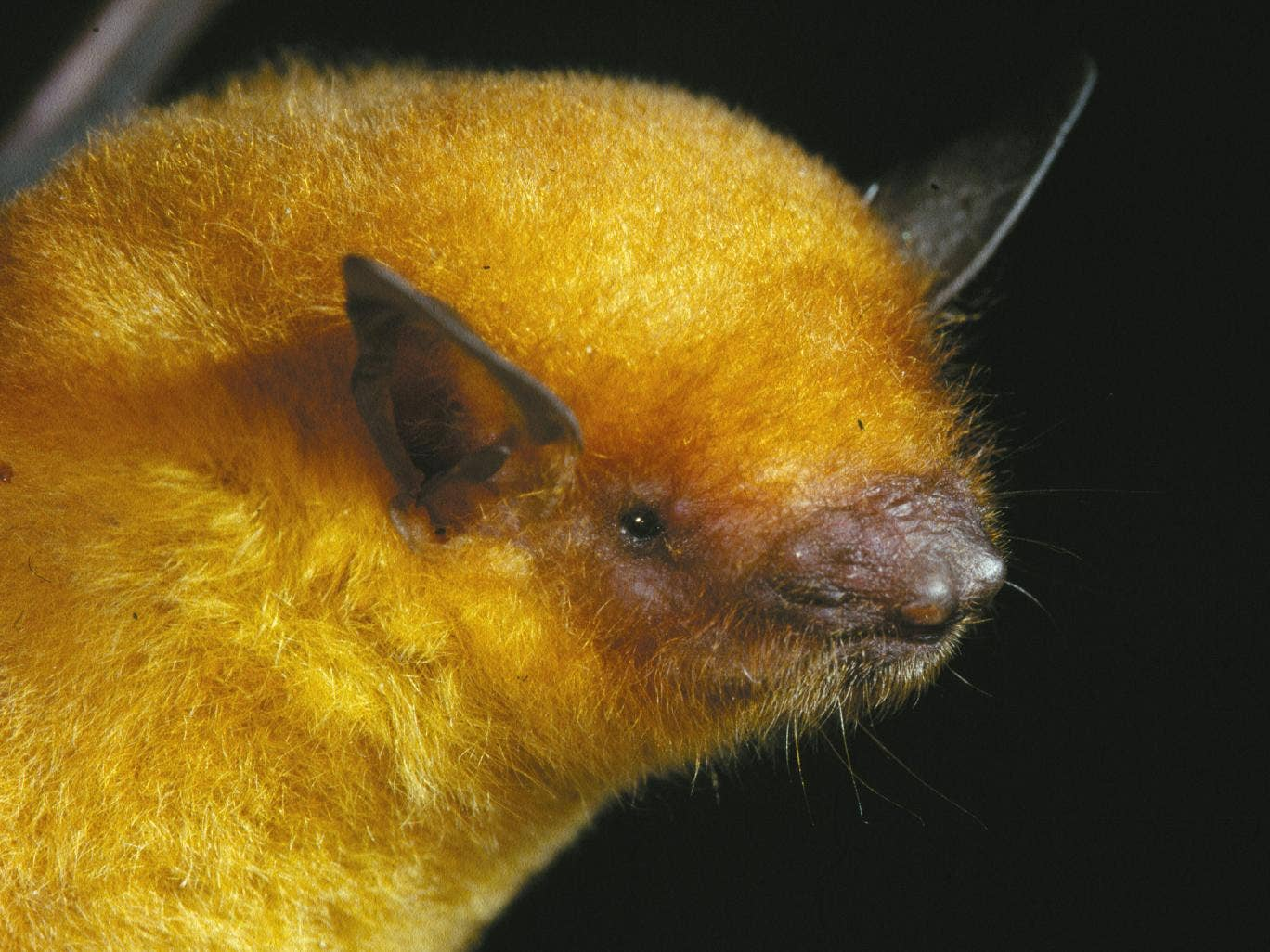 A myotis midastactus bat, which was recently classified as a new species