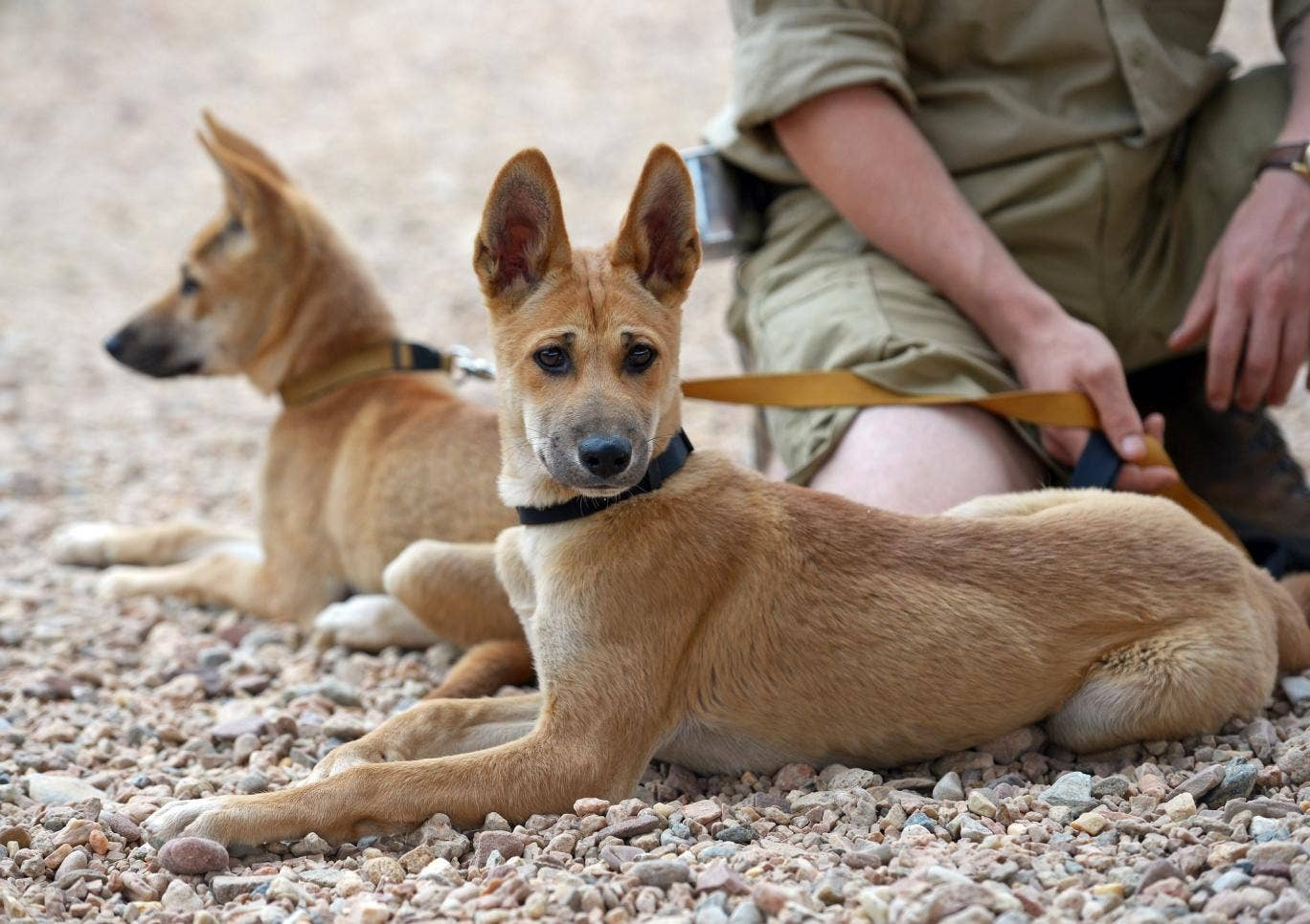 Dog Handler Australia