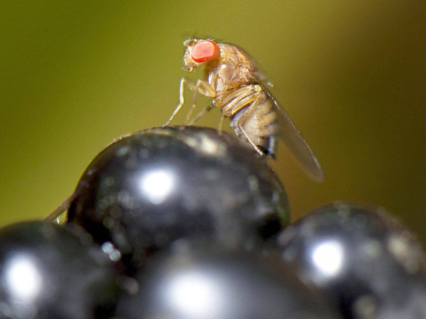 Flies' hearts can be controlled with lasers, giving hope ...