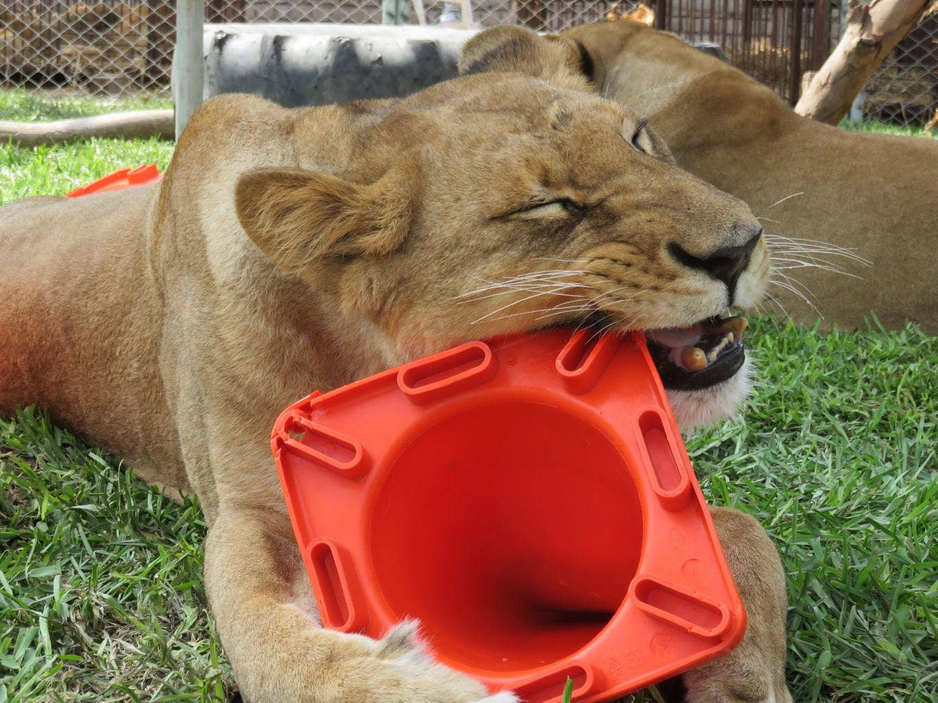 The 24 rescued lions are being microchipped at the Emoya Big Cat Sanctuary in Limpopo province