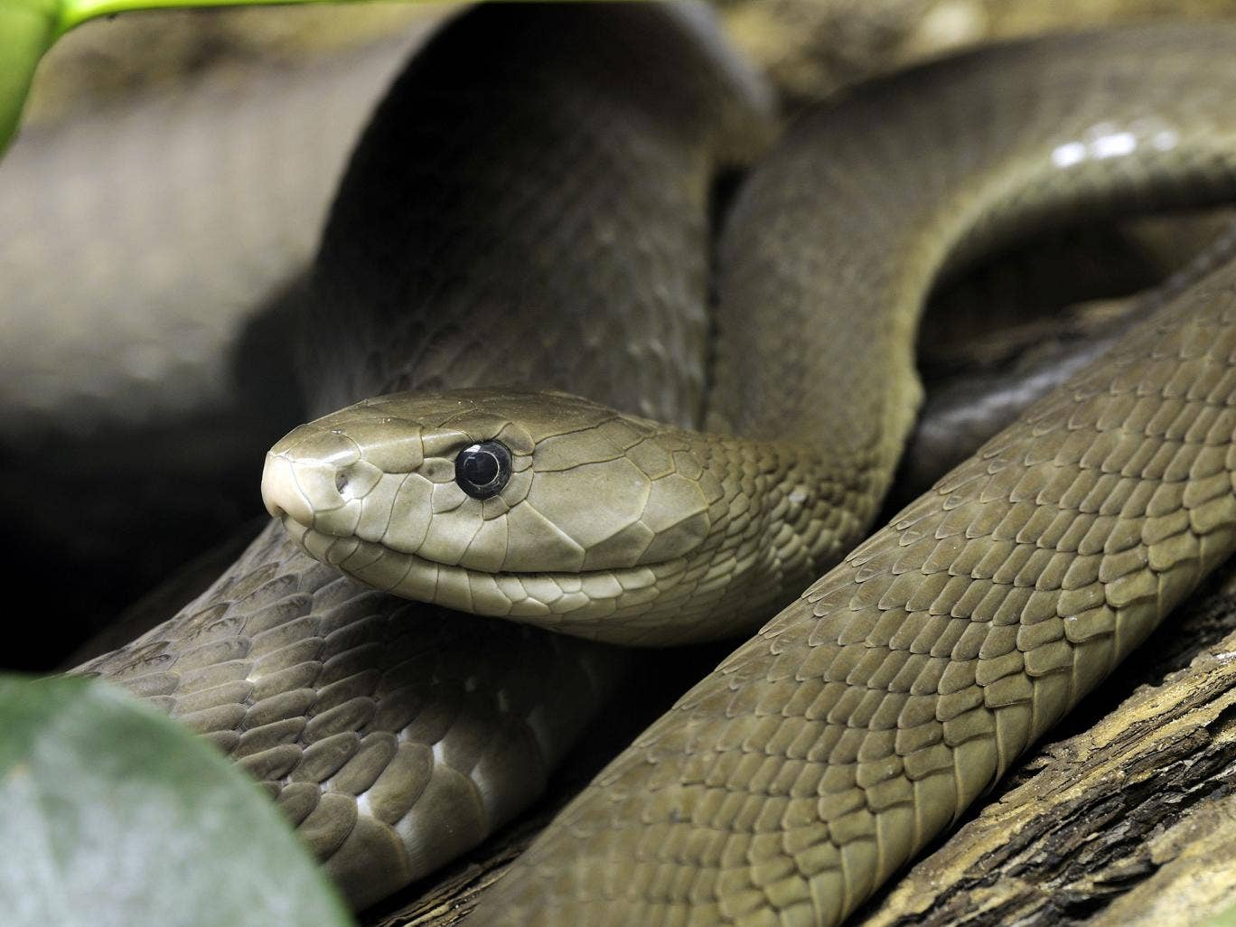 black mamba reportedly missing in camden home news